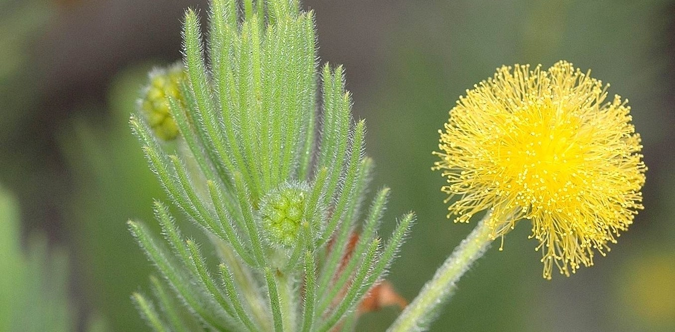 A bright yellow puff ball of a flower with soft upright cylindrical light green leaves