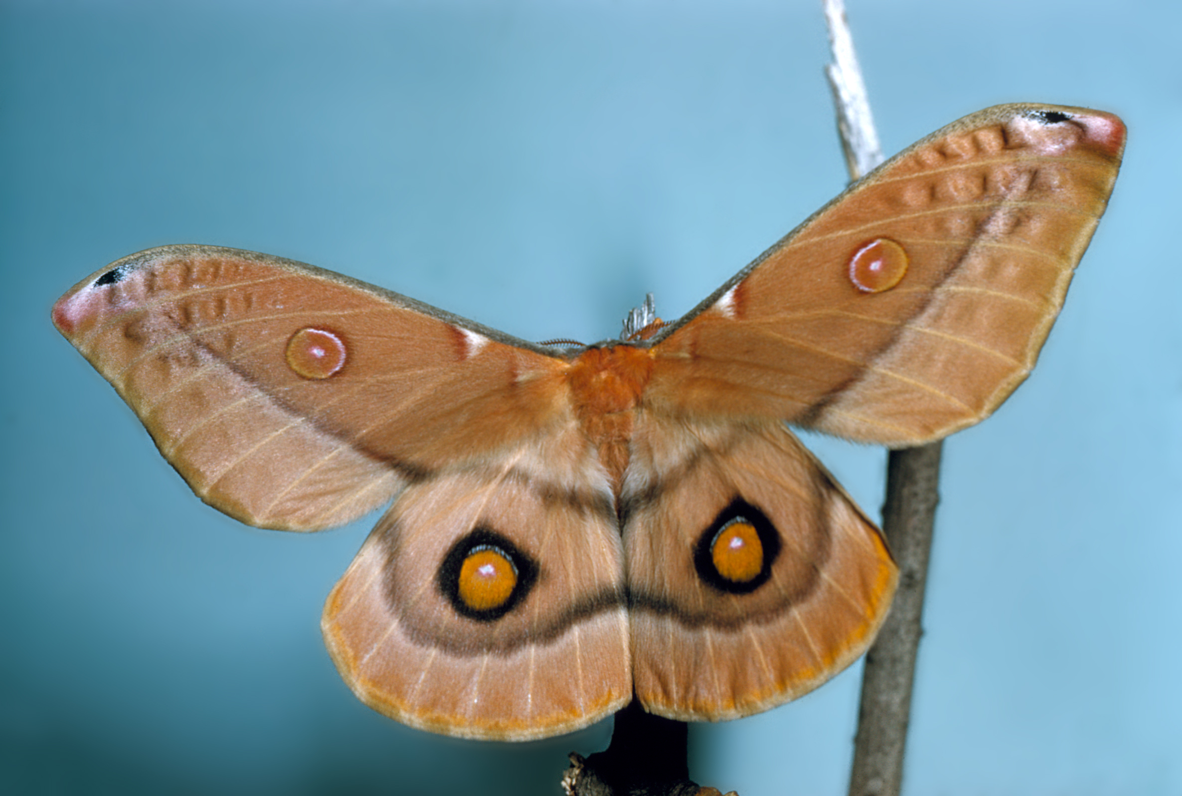 A emperor gum moth with wings open