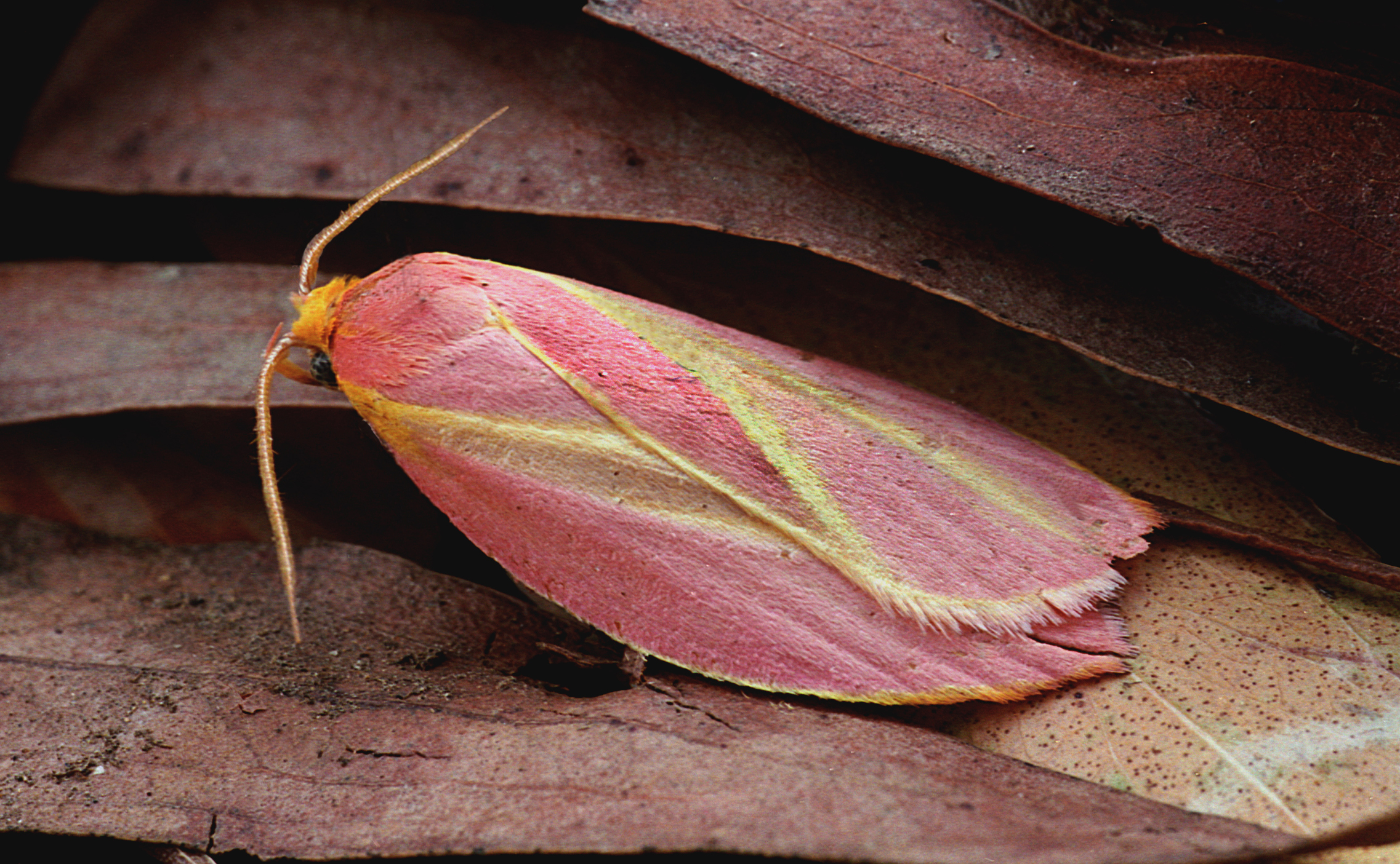A mallee moth on brown leaves