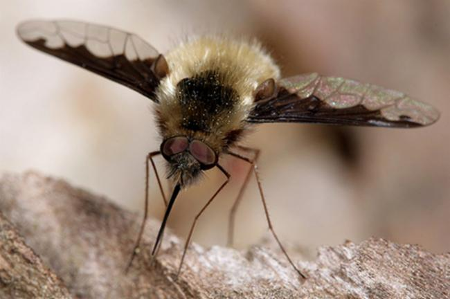 A bee flie with wings open sitting on a log