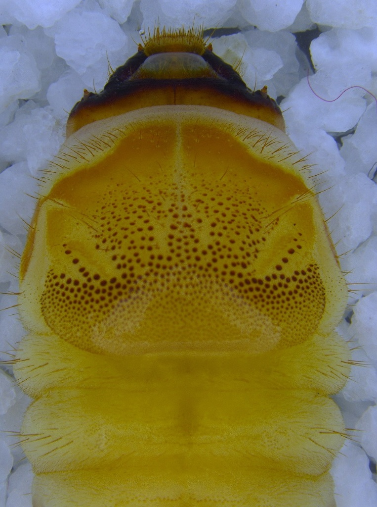 Close image showing the head of the brown mulberry longhorn beetle, scientific name Apriona germari, which appears yellowish-brown in colour.