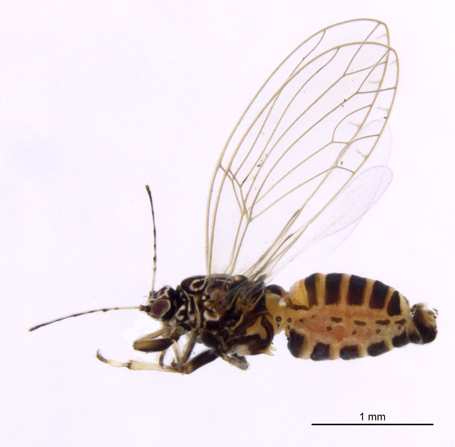 Photo of the tomato potato psyllid found that was found on Norfolk Island, showing the insect viewed from the side against a plain white background.