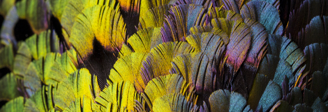Close-up view of rain-bow coloured feathers