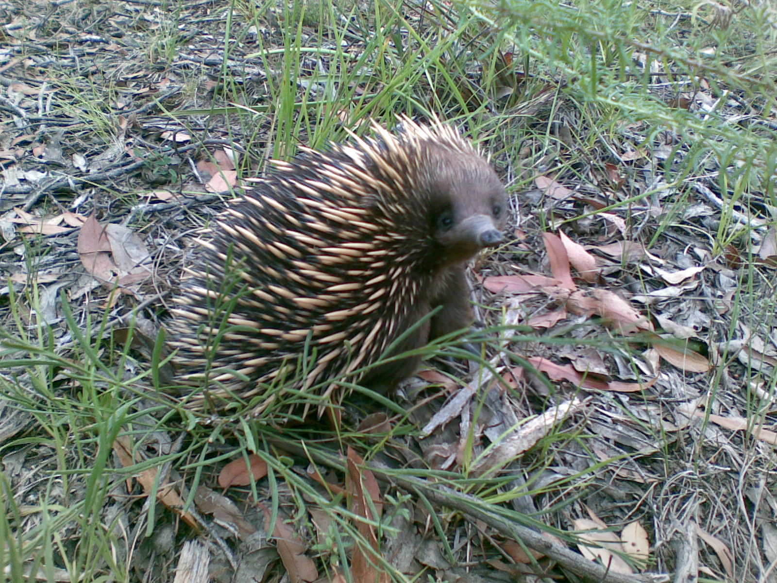 An echidna looking up to the camera on ground coveredin grass and leaves.