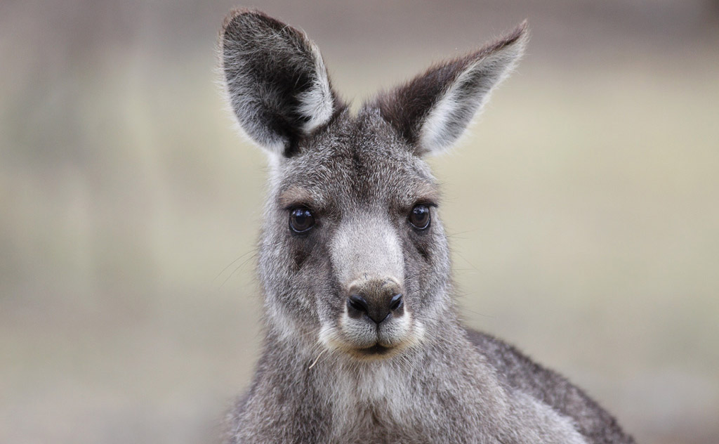 Close up of a grey kangaroo's face