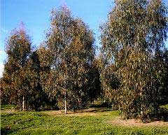 Medium distance view of Eucalyptus dunnii trees growing in a seed orchard.
