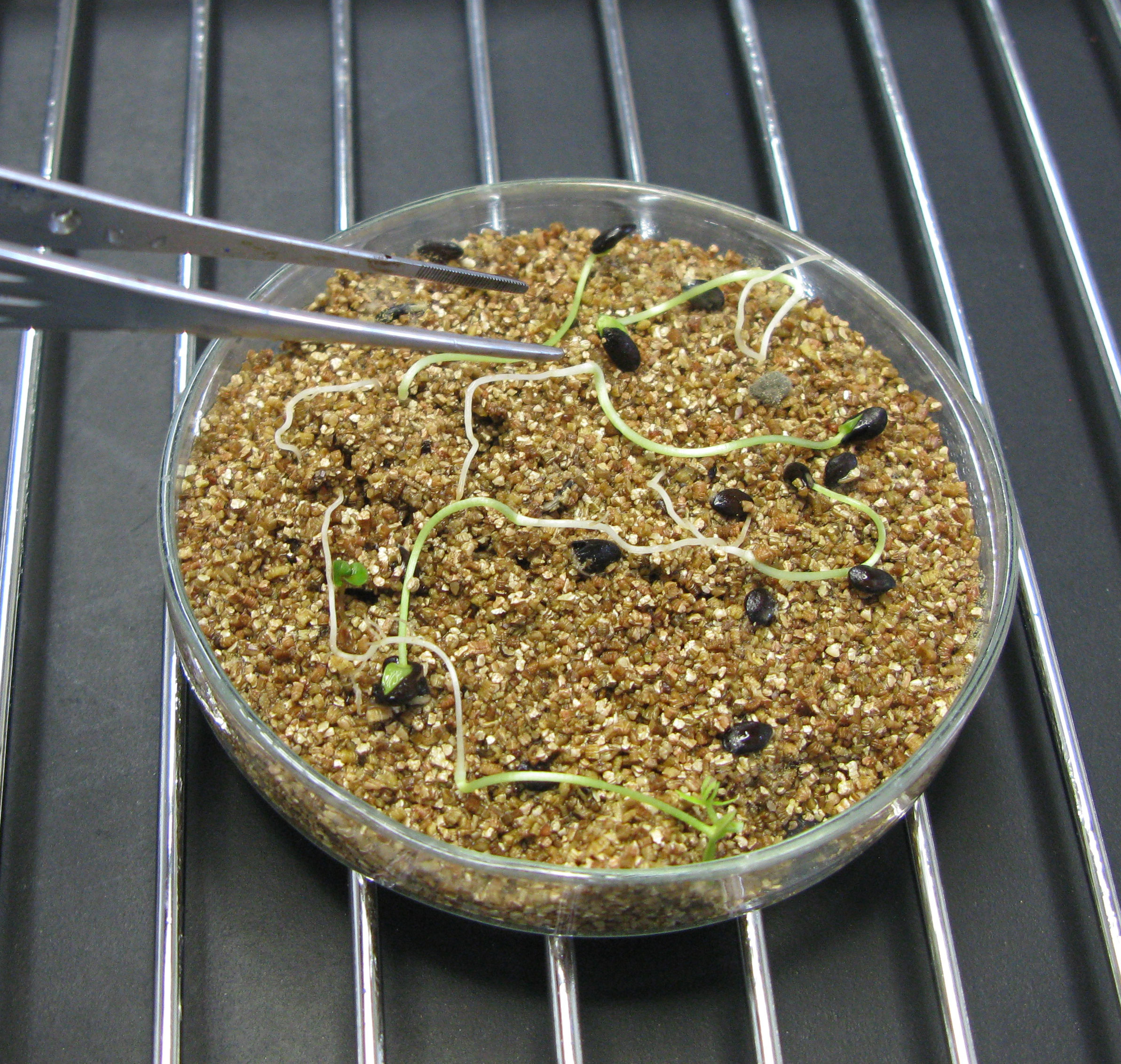 petri dish with germinating Acacia cincinnata seeds.