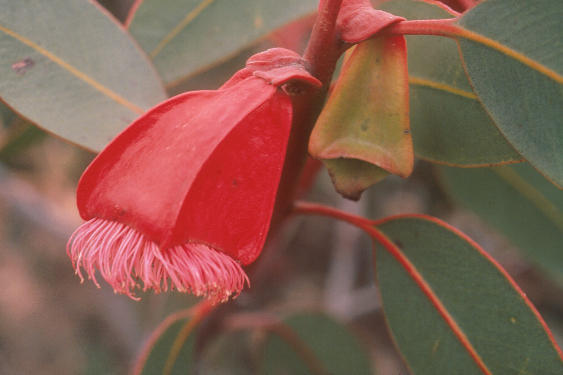 close up flower of Eucalyptus tetraptera (Square-fruited mallee) from Western Australia among green leaves. the flower is an orangey-red rhombus shaped trumpet with hairs along the open edges.