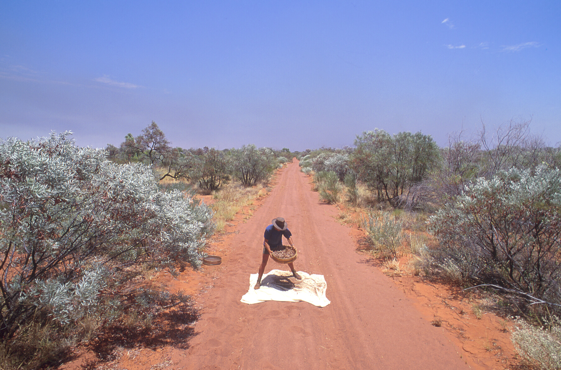 red dirt, tree-lined road runs through the middle of the image away from the viewer. A man with a sieve stands in the middle of the road on a white sheet sorting tree seeds.