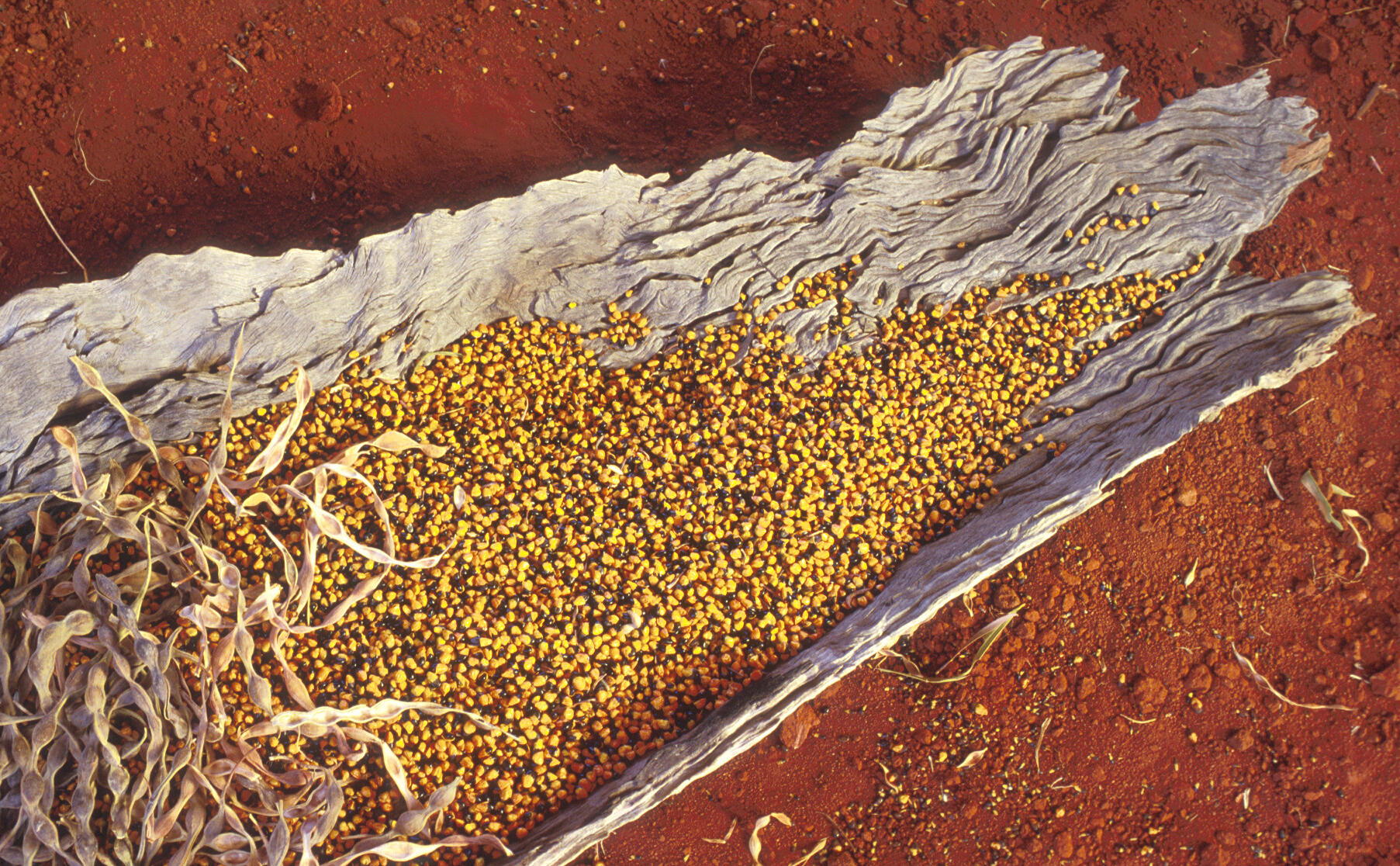 bright yellow seed and pale brown pods of Acacia coriacea or inland acacia situated on a piece of driftwood laying on bright red soil