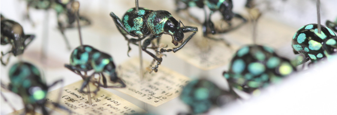 Rows of green and black beetles pinned in a box