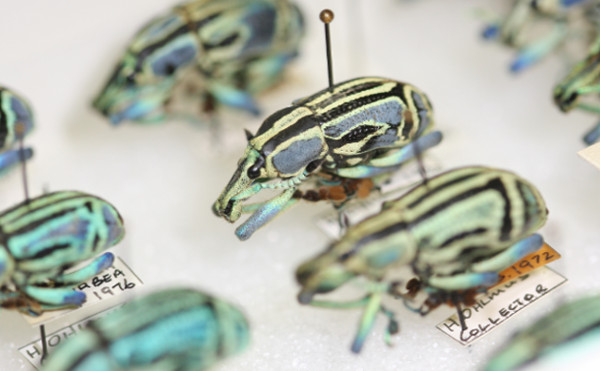 A series of pinned green and black beetles