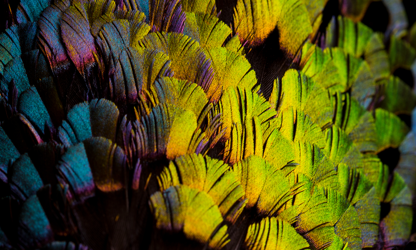 Magnified view of colourful feathers showing bright blue, purple, yellow, oragne and green