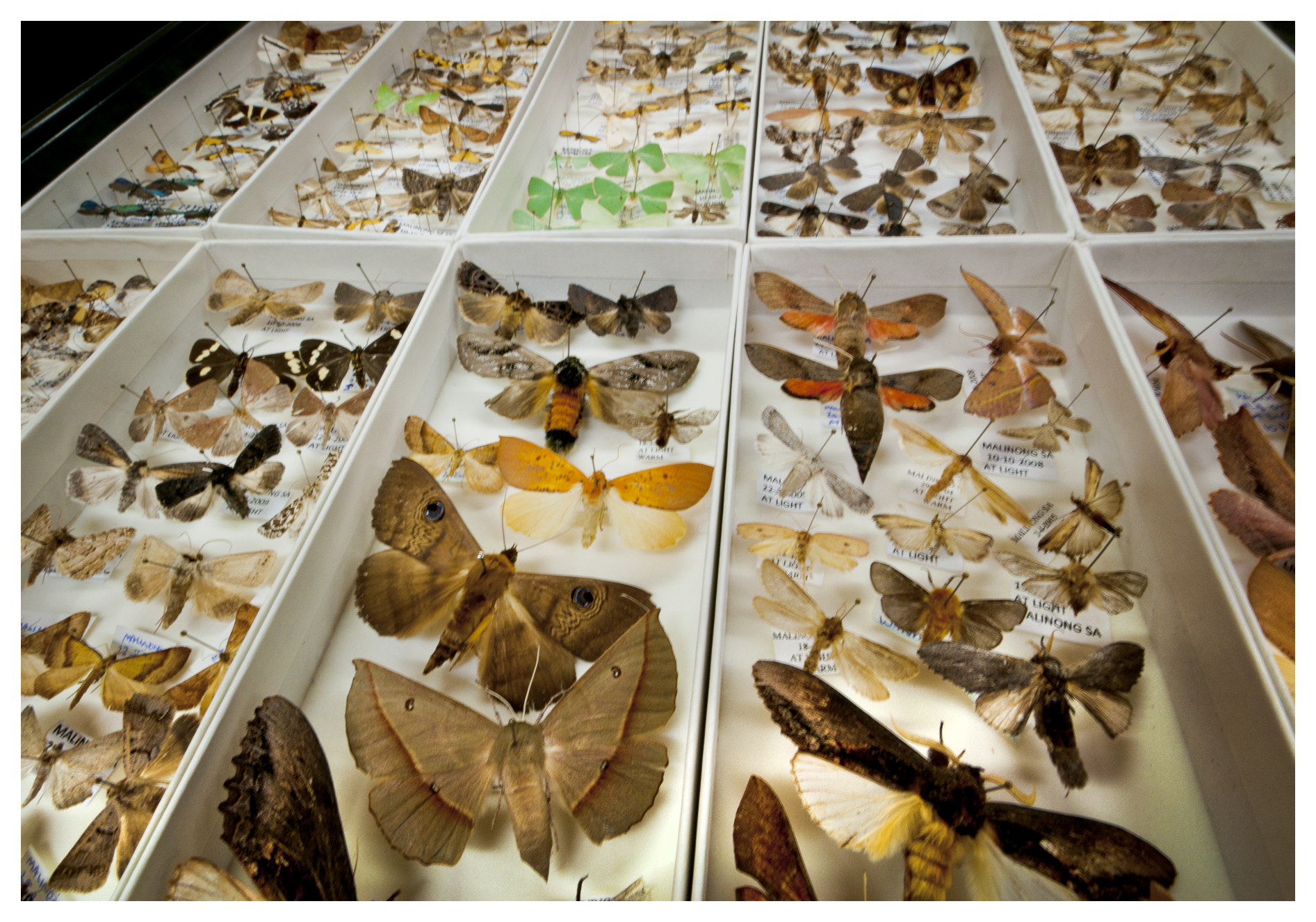 Moth specimens in a display case.