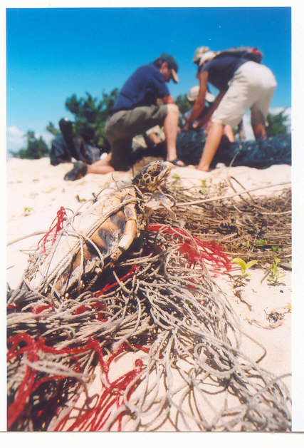 A turtle caught by a ghostnet (foreground) while people attempt to cut a turtle from a second ghostnet (background).