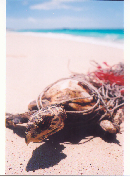 A turtle washed ashore caught by a ghostnet.