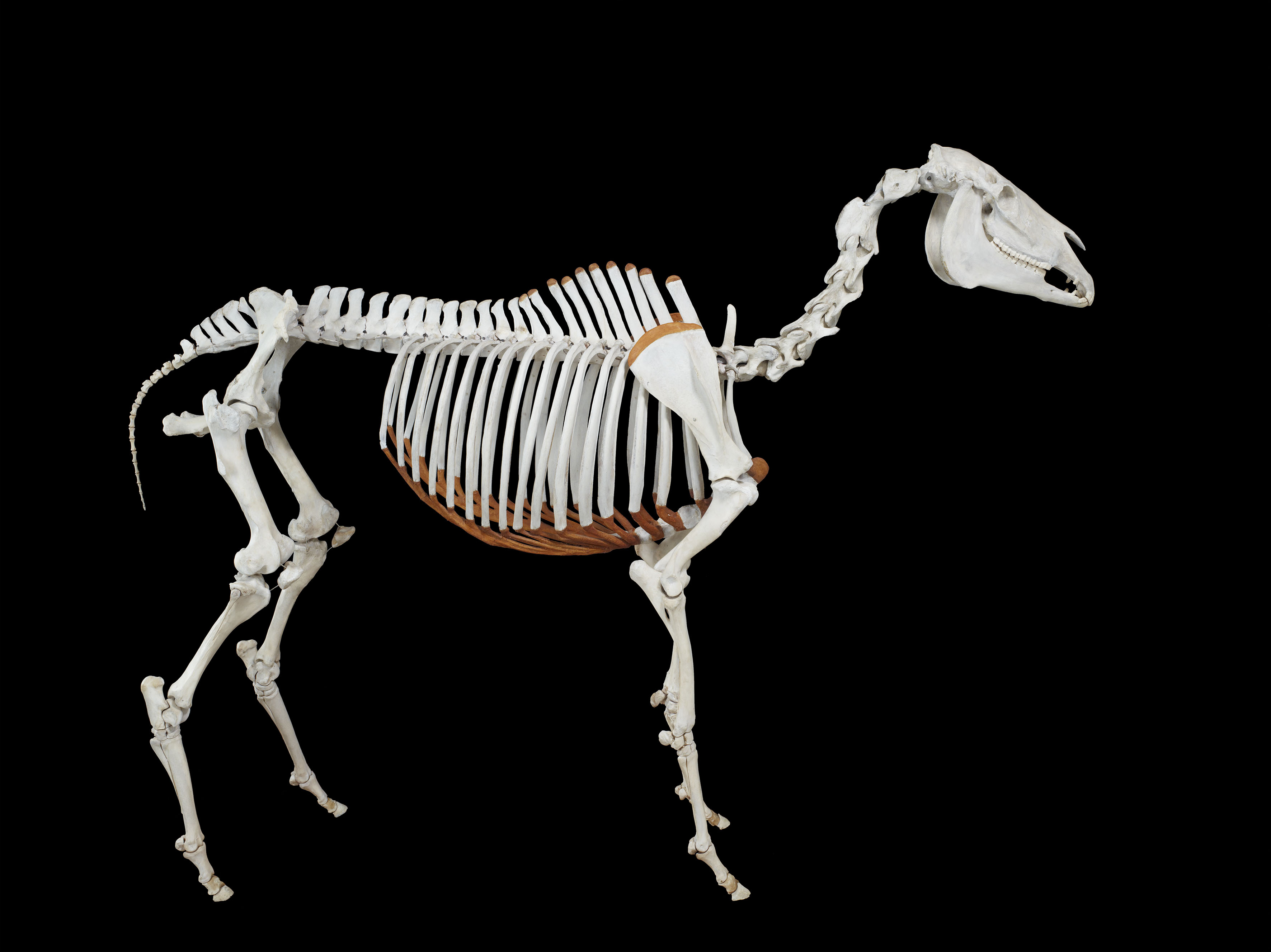 Phar Lap's skeleton