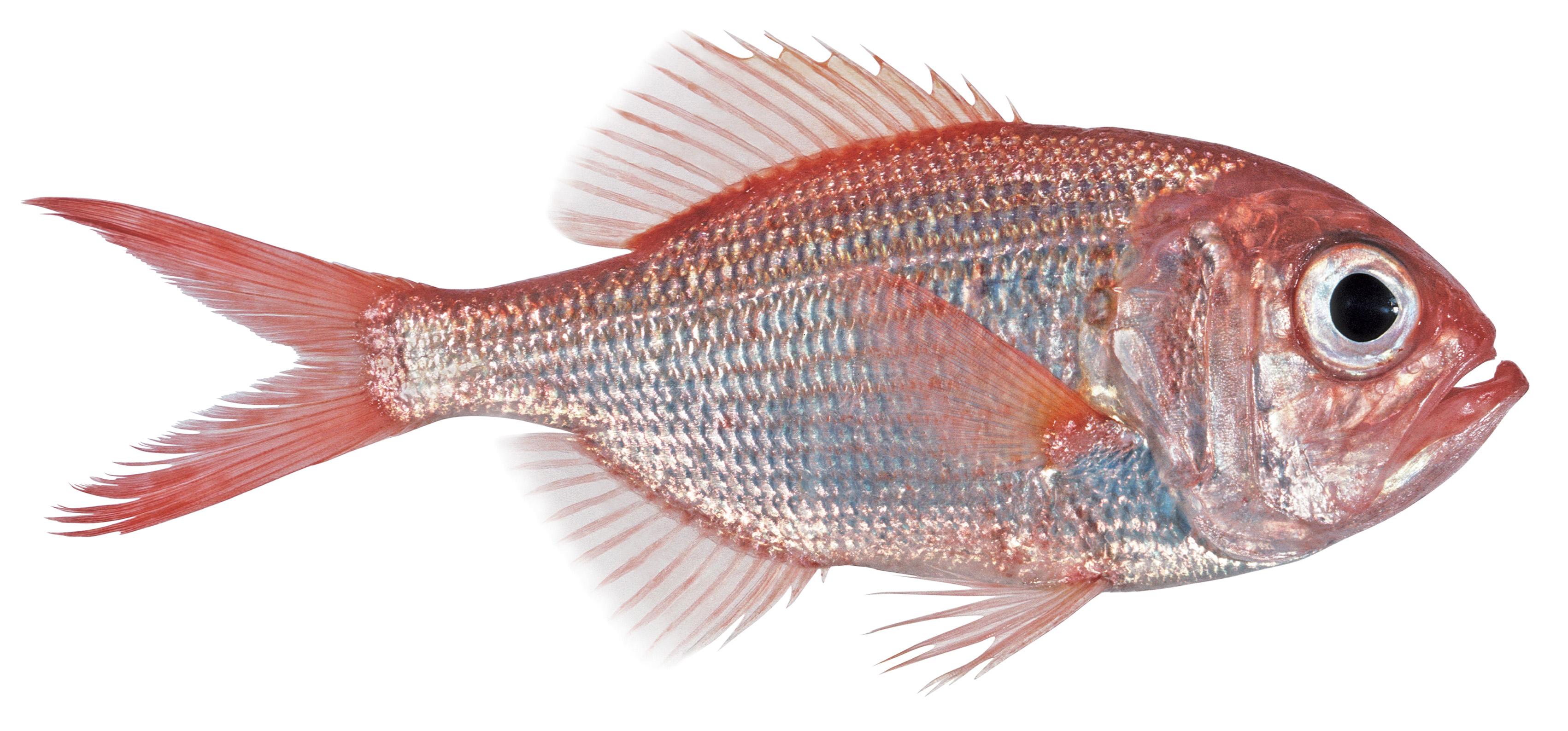 Krøyers deep sea angler fish  Wikipedia