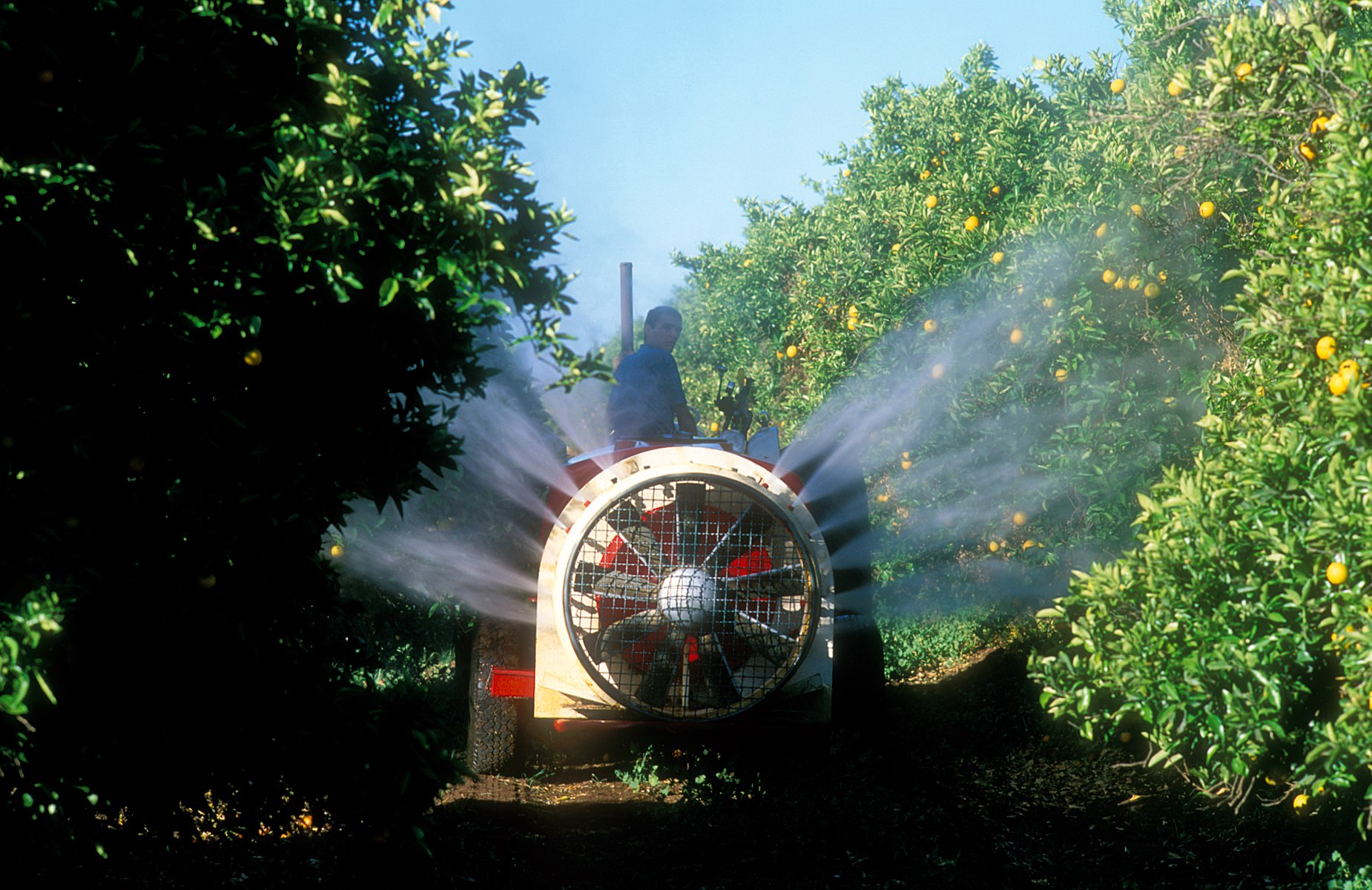 Spraying oranges in an orchard at Griffith in New South Wales.