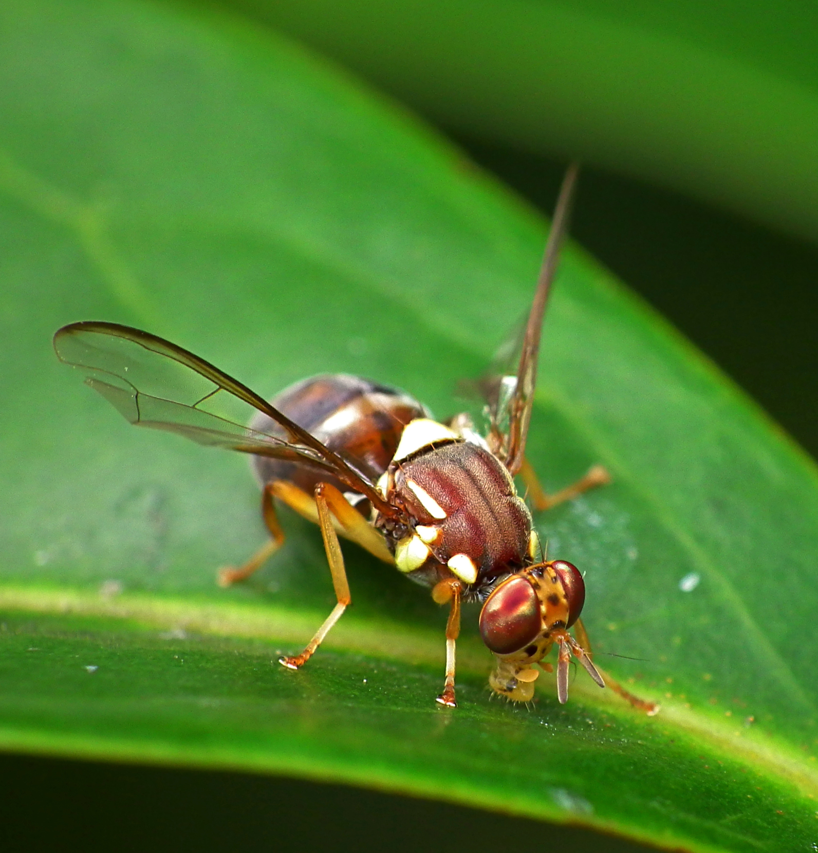A Queensland fruit fly