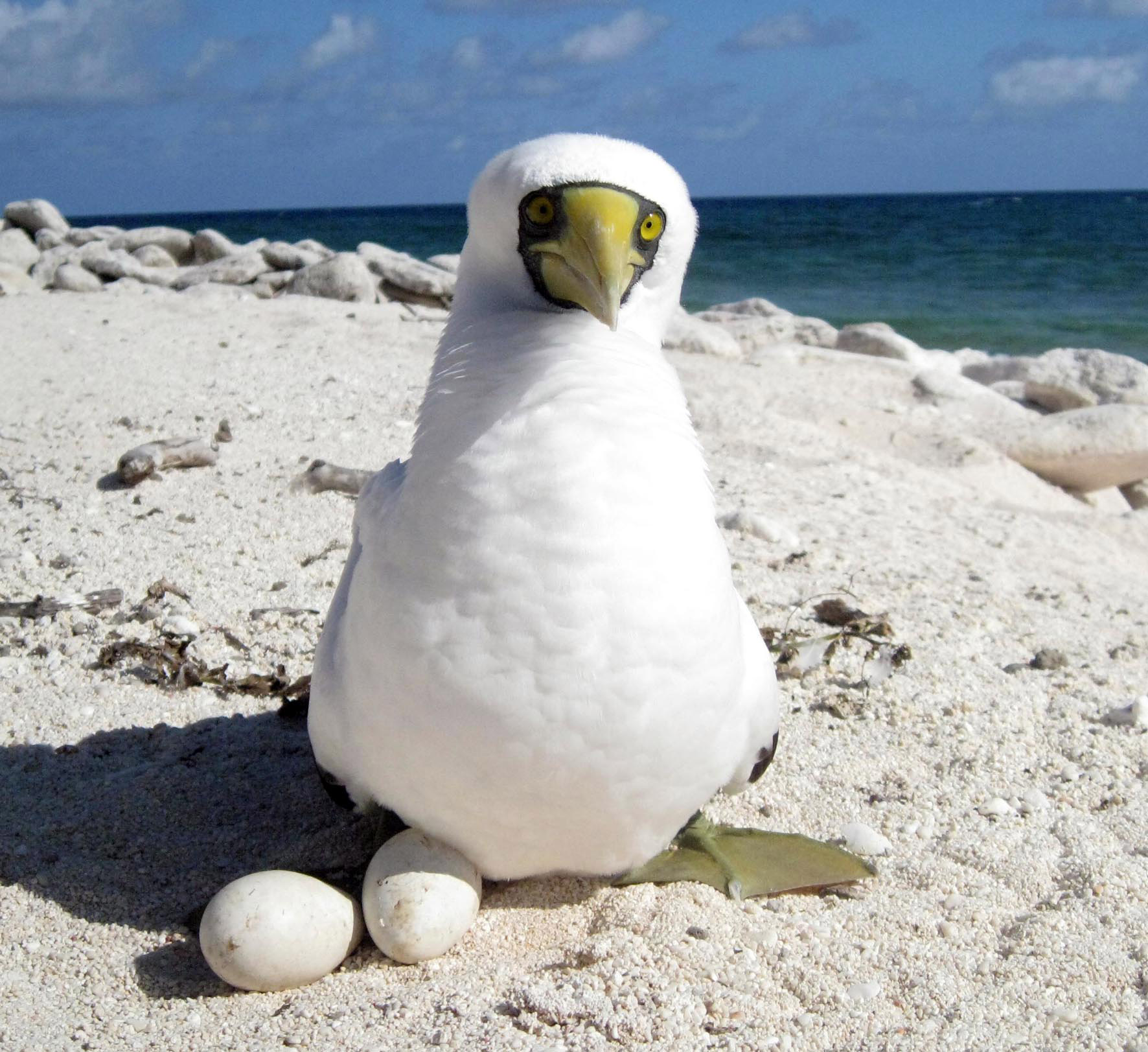 Masked booby with eggs