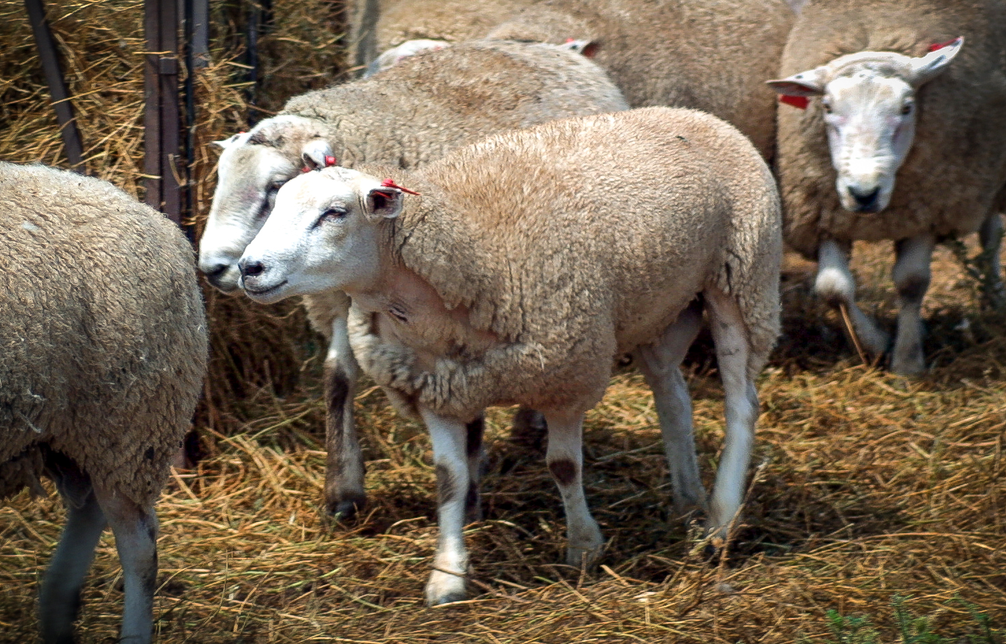 Male Texel sheep that had its genome sequenced for the project.