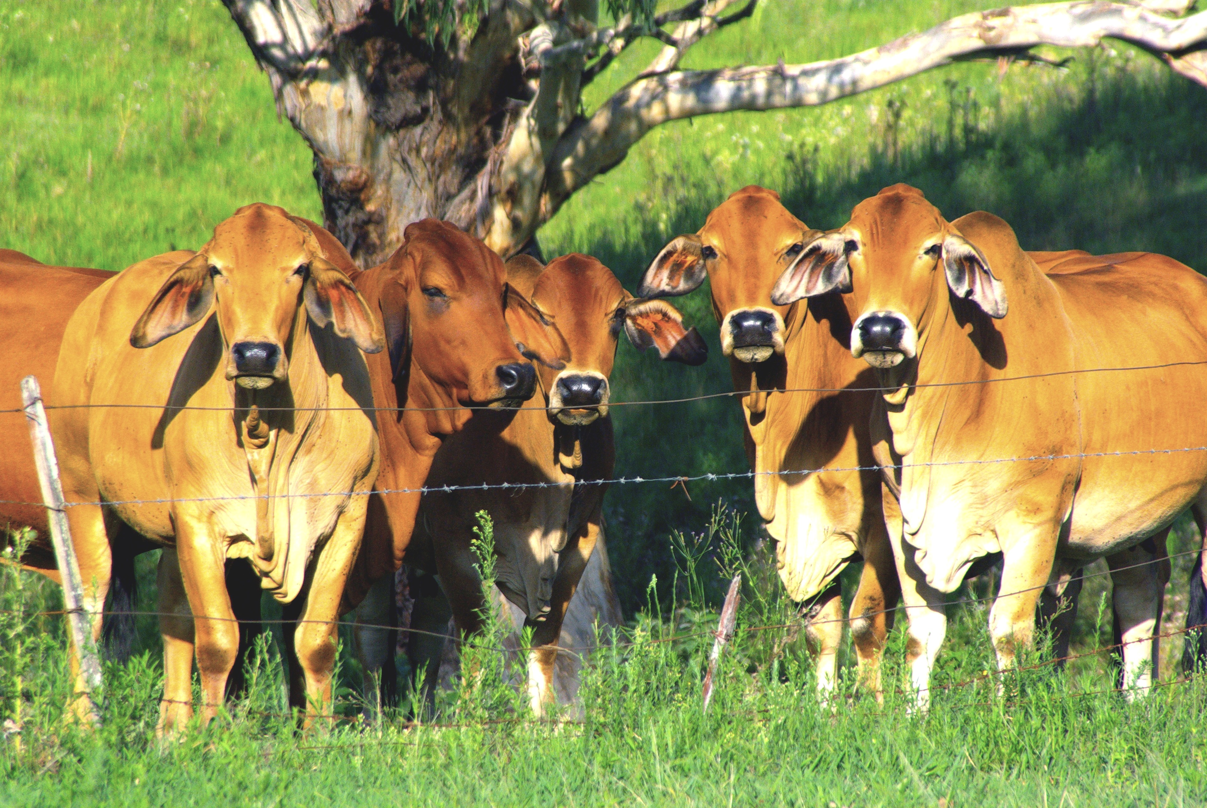Brown Australian cattle grazing