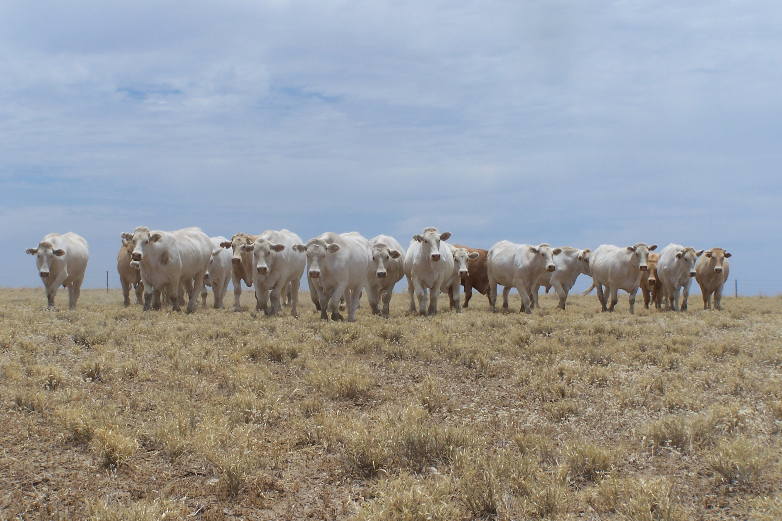 Grey Australian cattle grazing