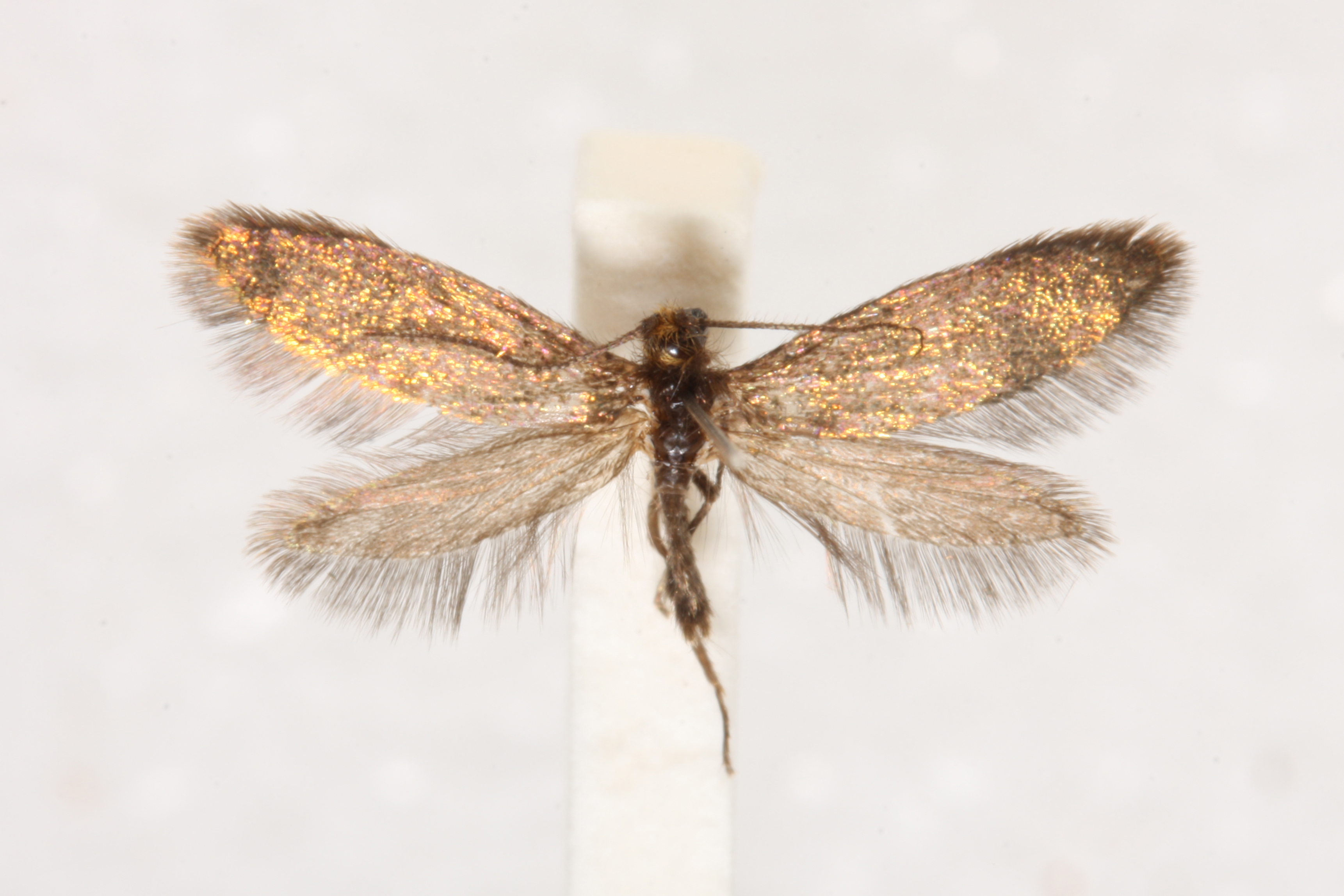 Pinned specimen of the enigma moth.
