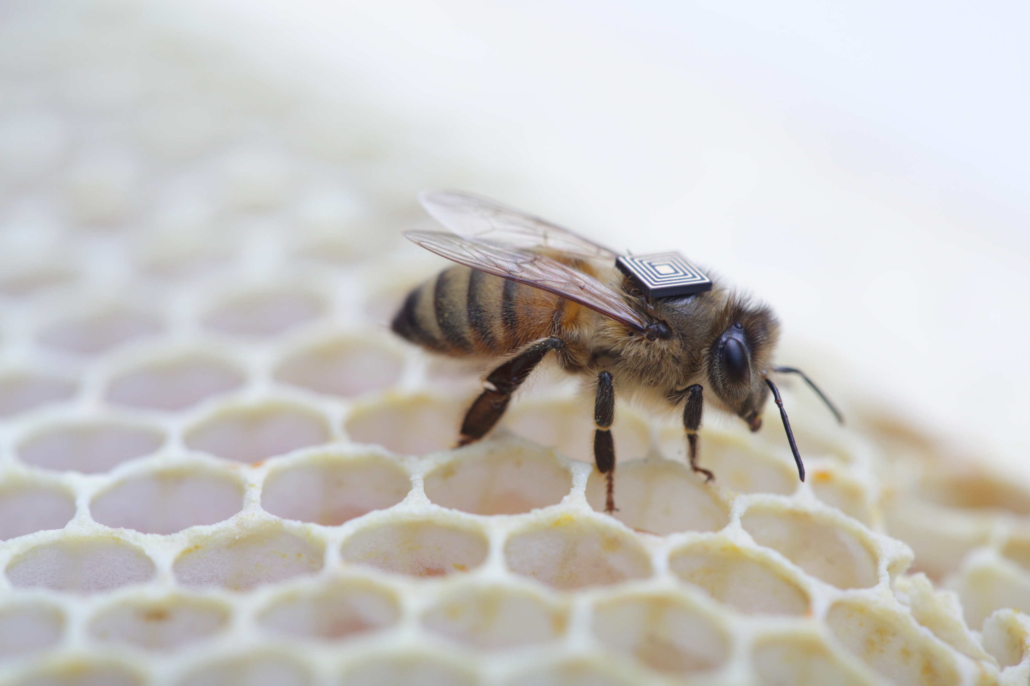 Honey bees with sensor