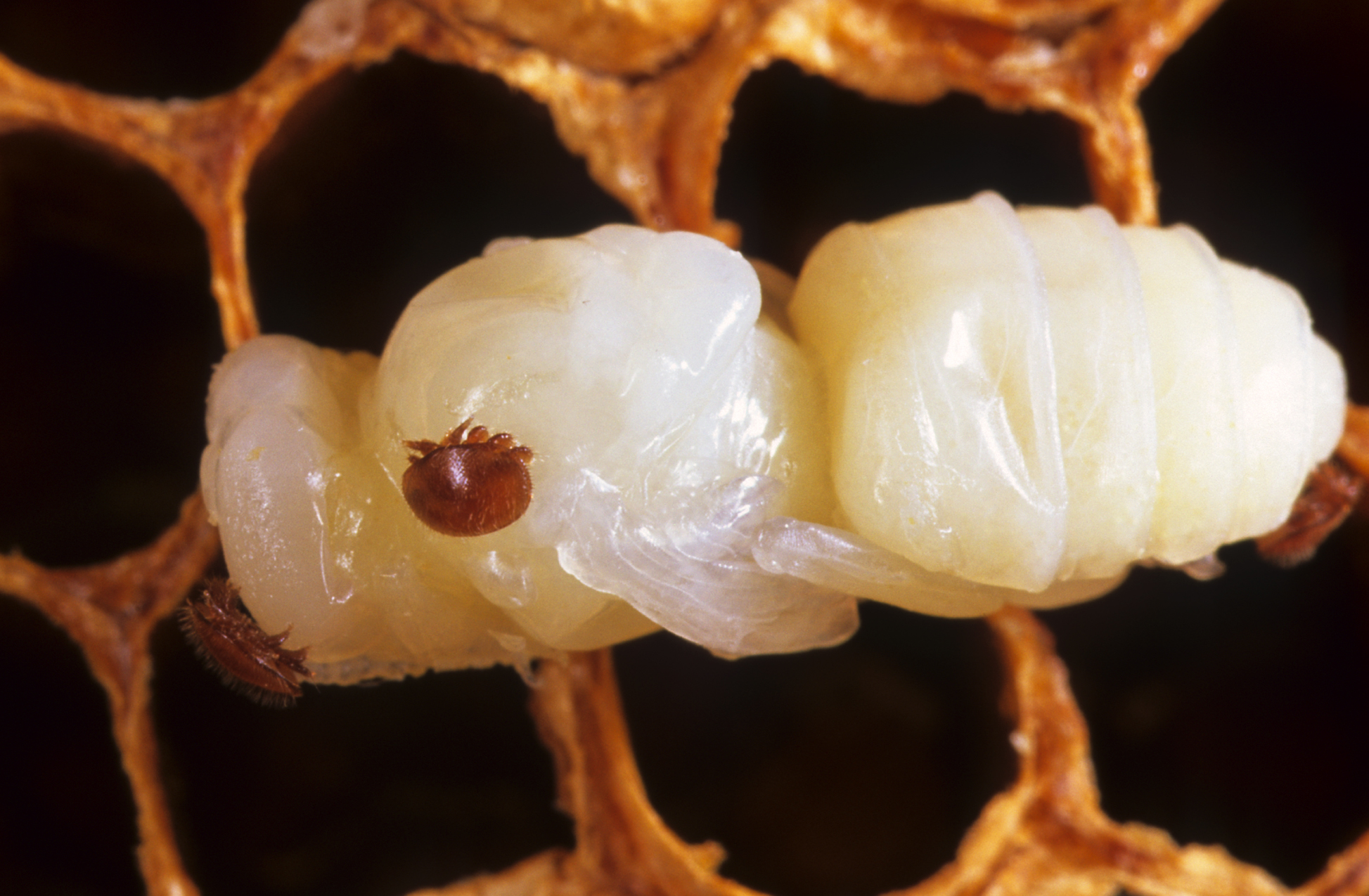 Varroa mite, latched onto a bee pupae.