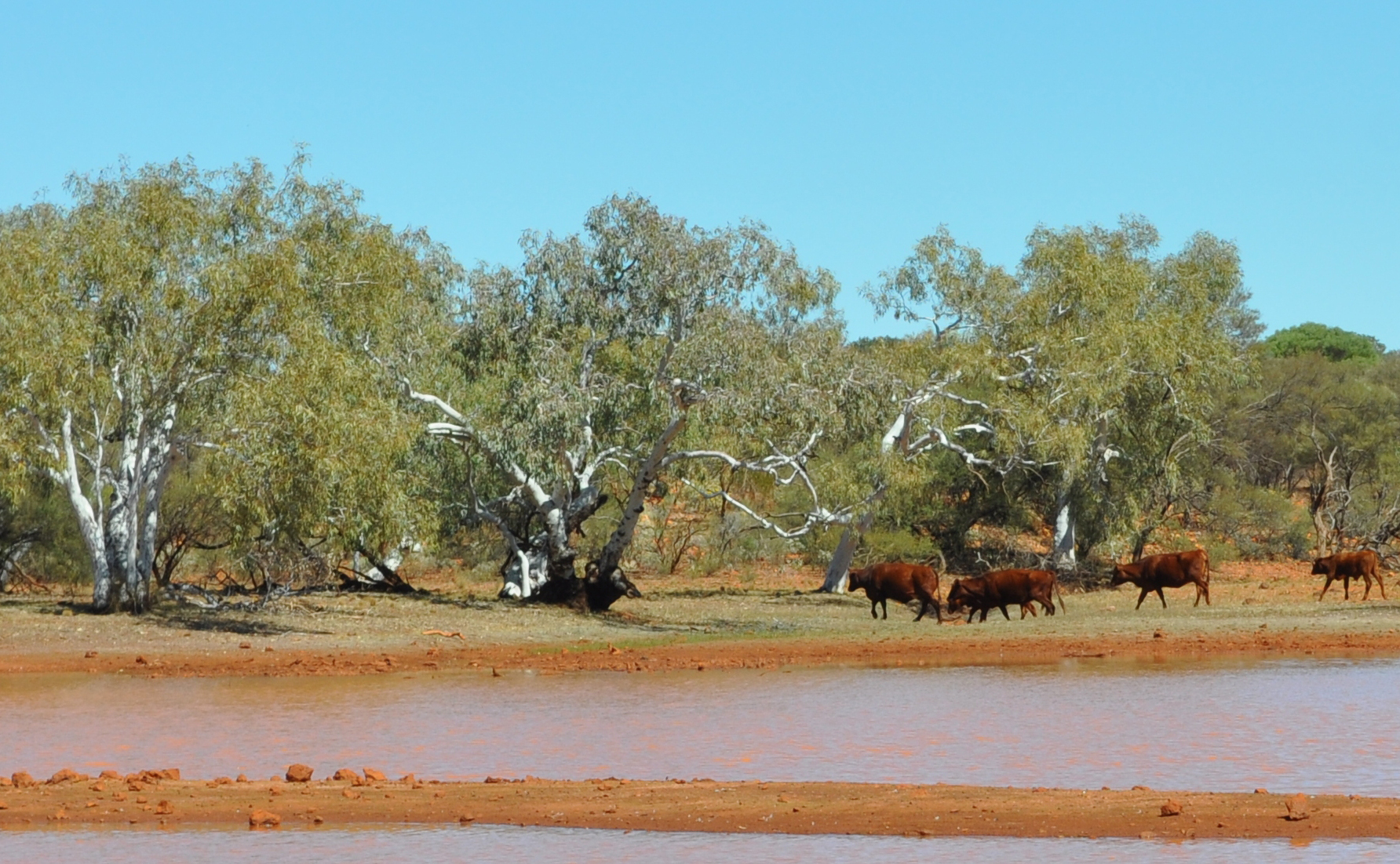 Cattle using a river pool in the Upper Fortescue region of the Pilbara.