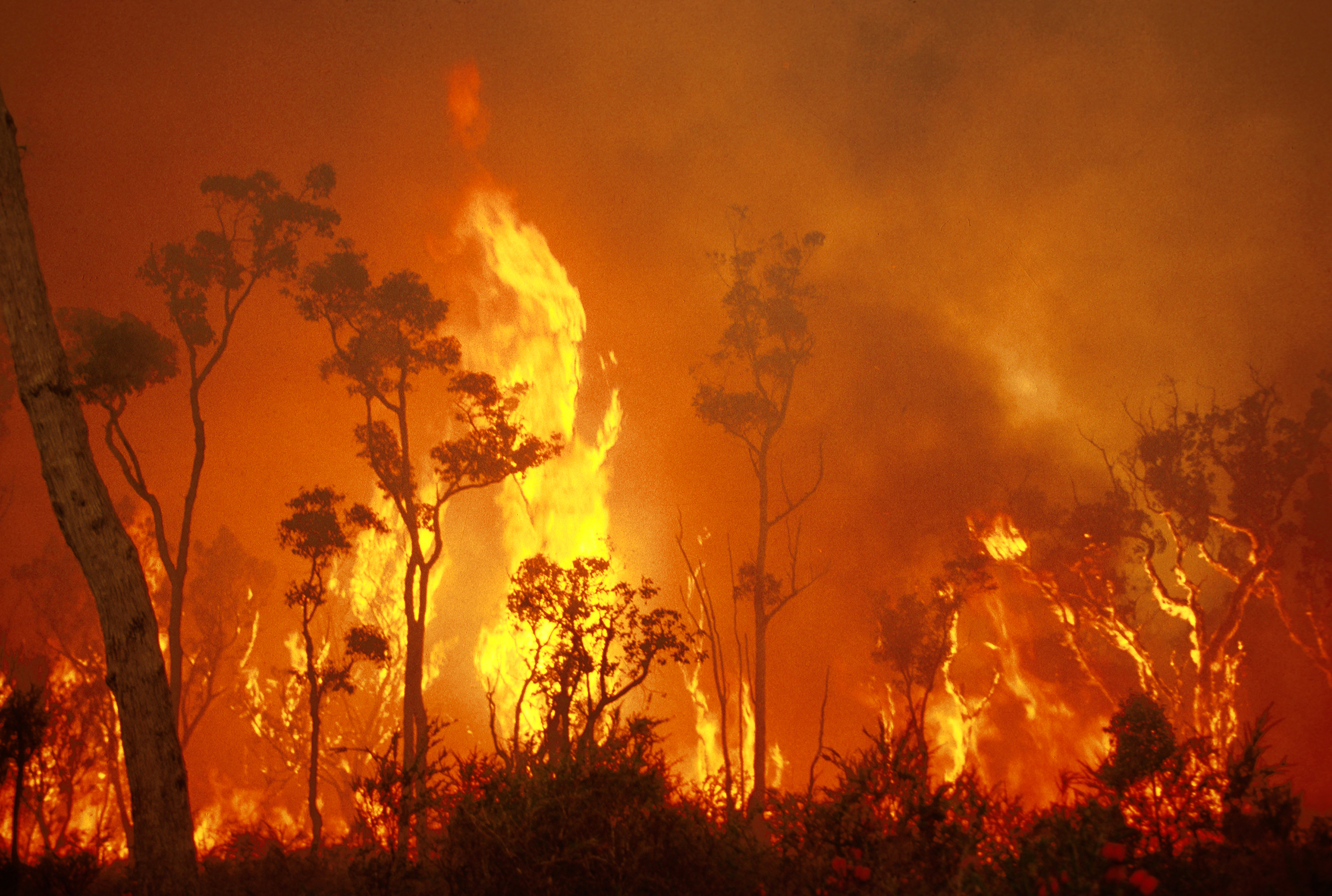 Raging bushfire showing flames leaping above trees.