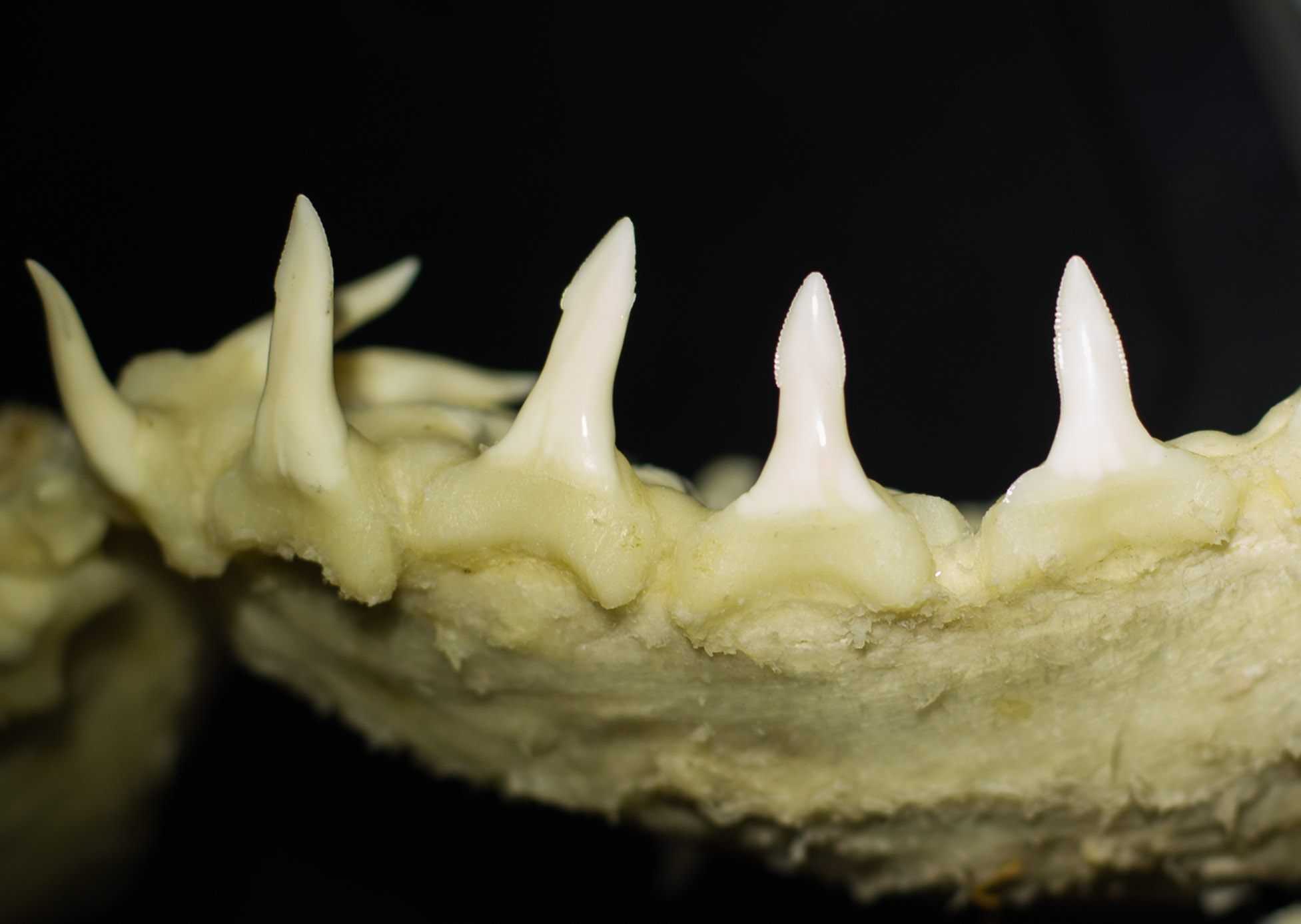 The lower teeth of the Speartooth Shark, which are long, narrow and erect with spear-like tips.