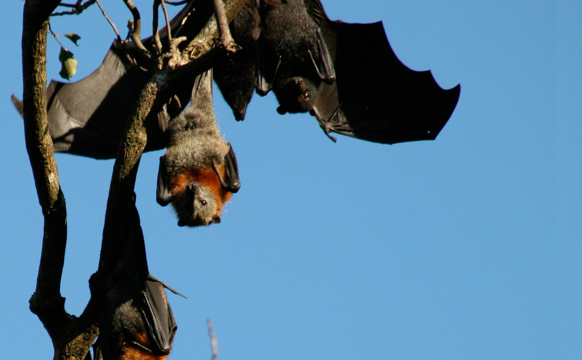 Black-headed flying fox hangs among a grey-headed flying fox colony.