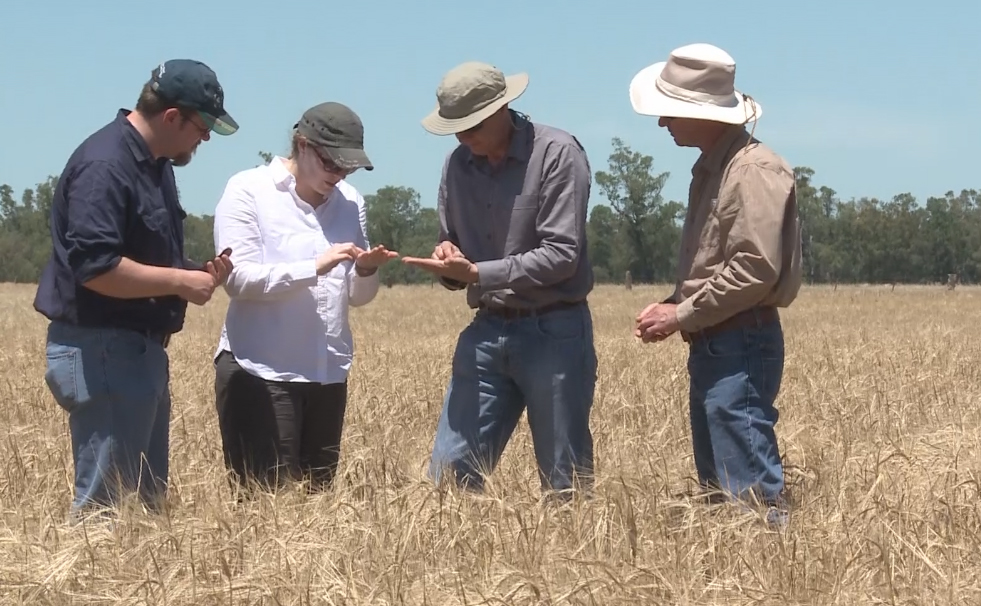 Four people examine grain in the field