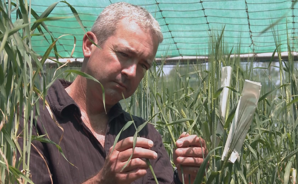 A man inspects barley in a greenhouse