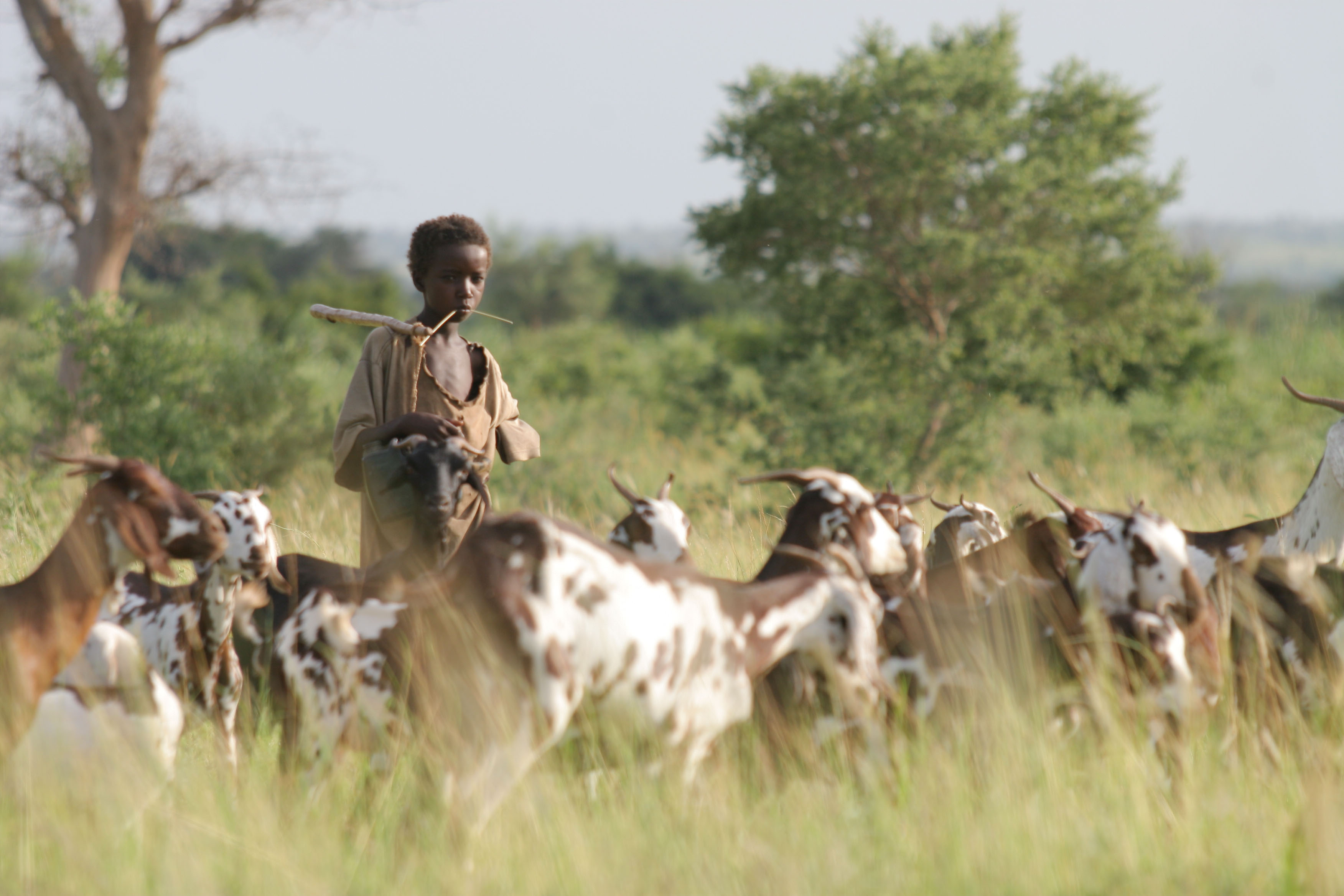 Young Fulani boy standing among goat herd.