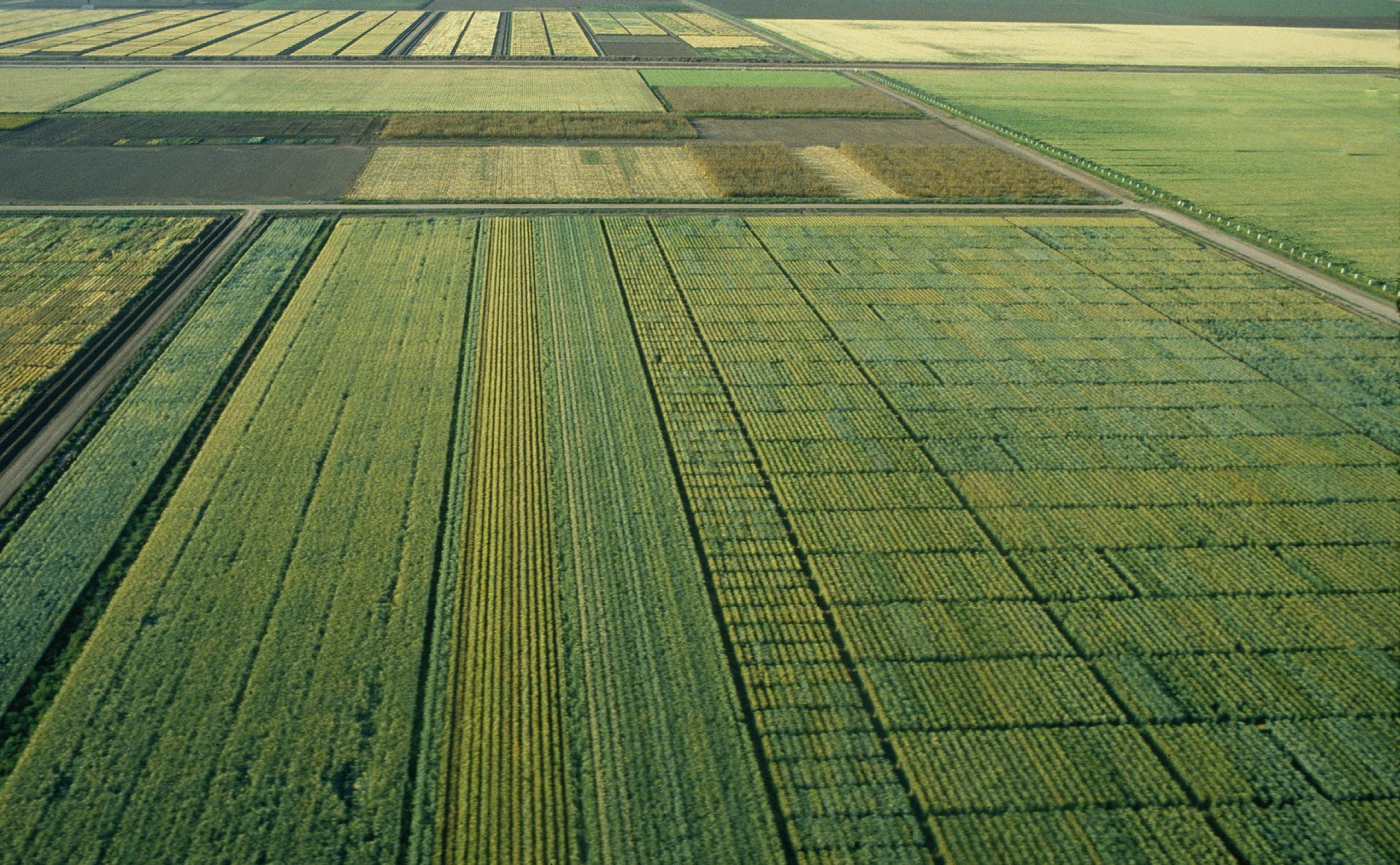 Aerial shot of wheat fields at CIMMYT's experimental station in northern Mexico.