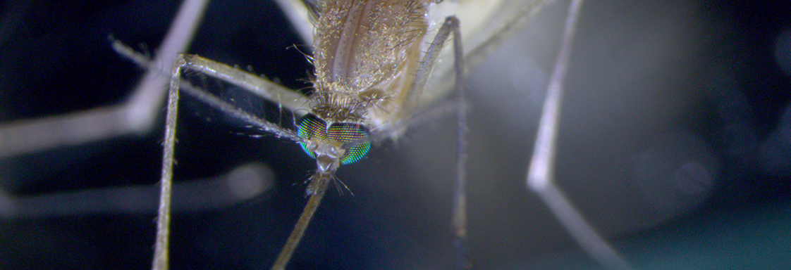 Close up photo of a mosquito.