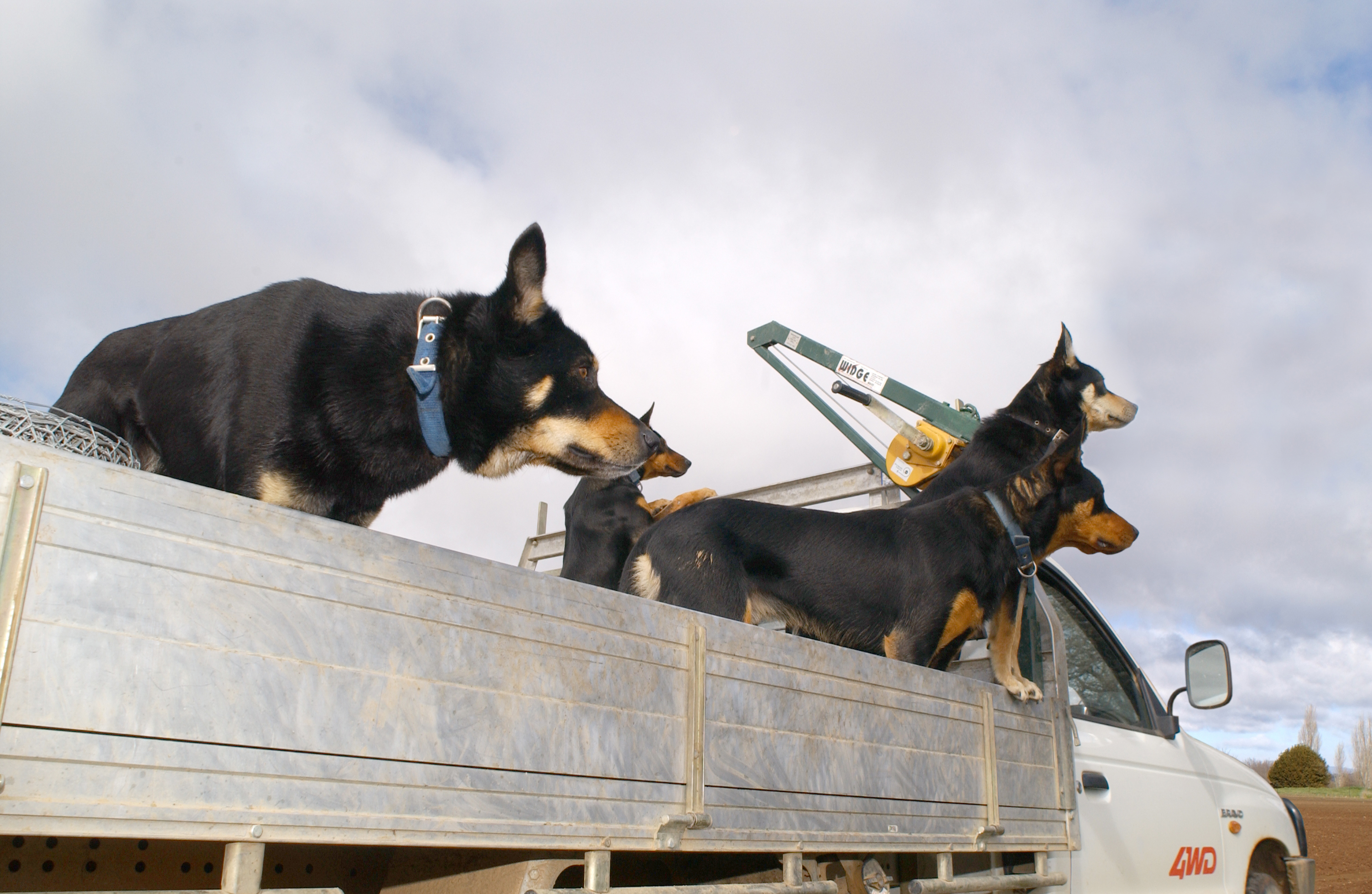 Farm dogs in ute at Ginninderra Experiment Station