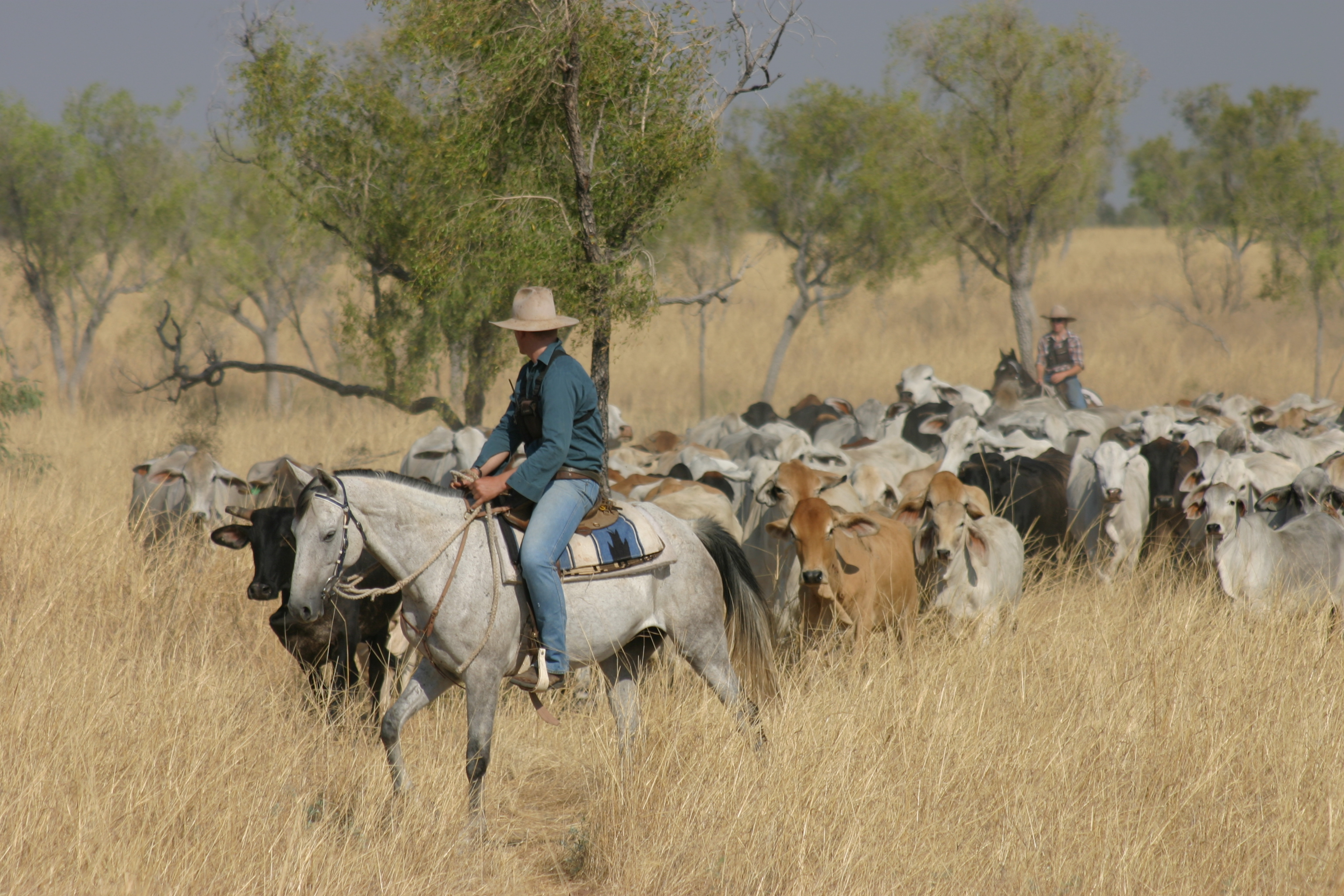 Man on horseback leading mob of cattle through the bush.