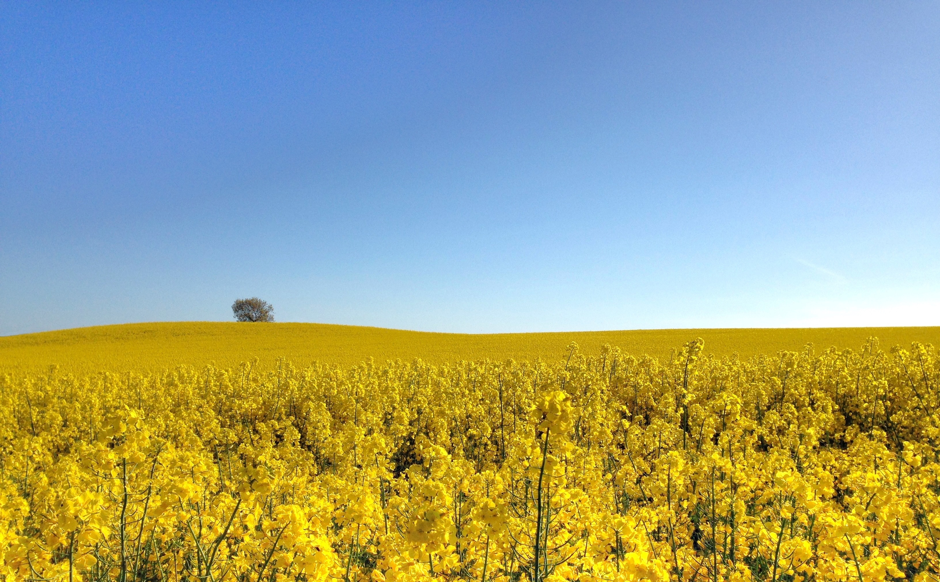 Canola field with rolling hill and blue sky in the background.
