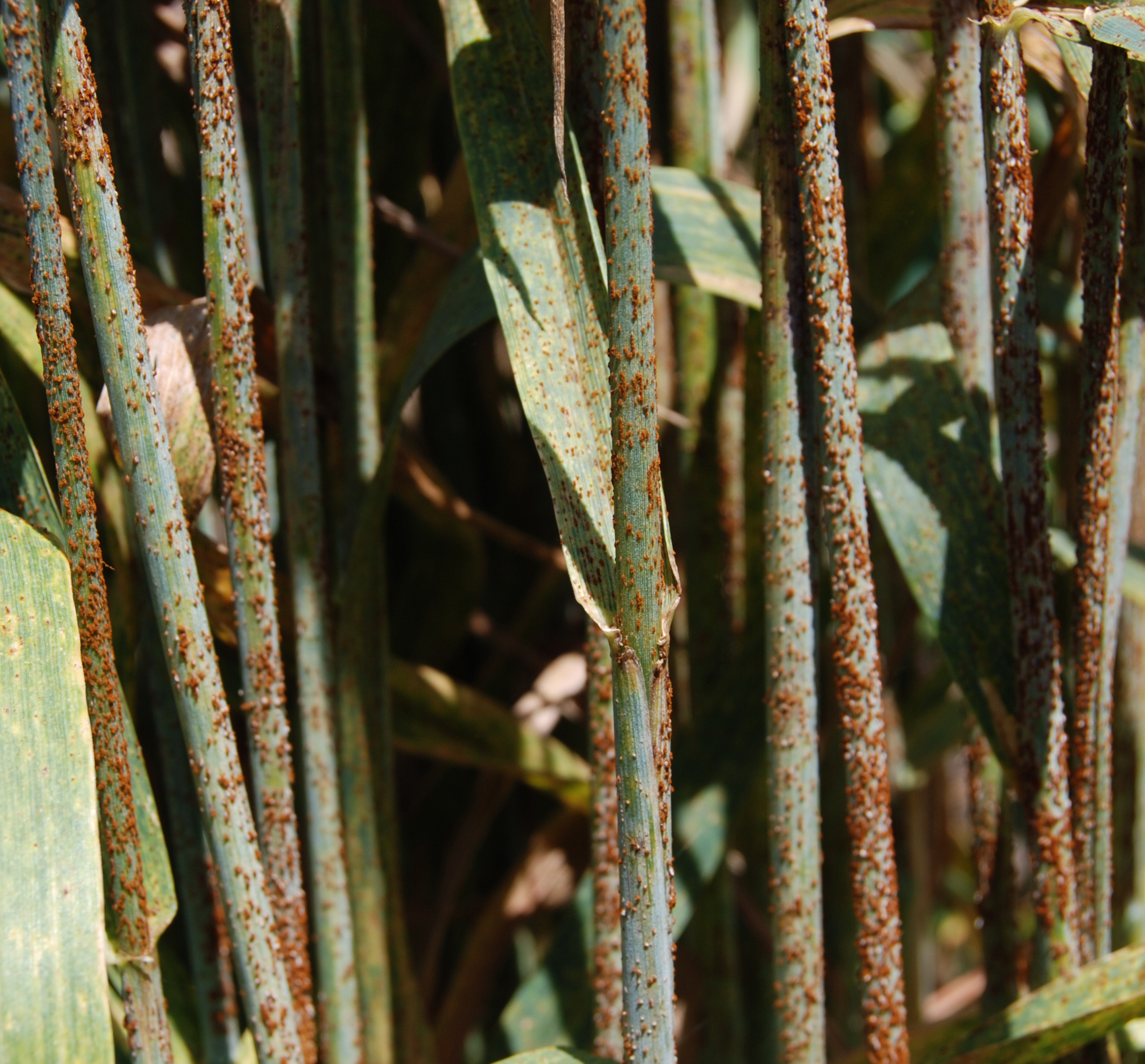 Wheat stems with rust