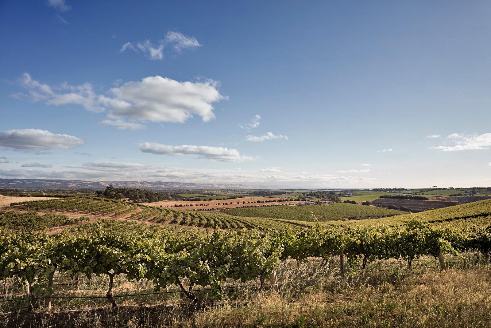 Grape vines surrounded by farmland and rolling hills.