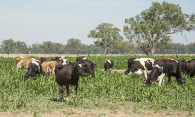 Dairy cattle feeding on sorghum