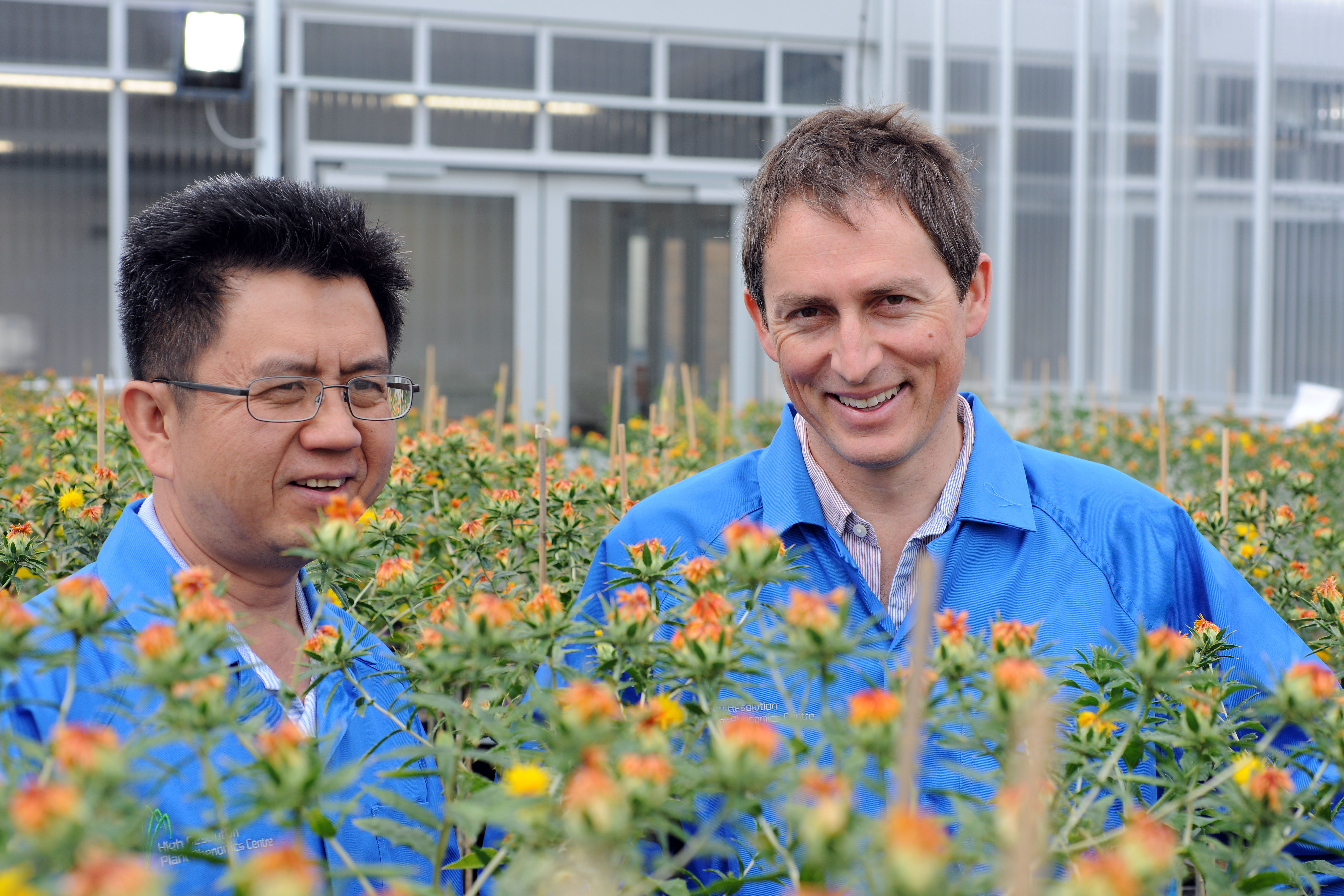 Two scientists standing amongst safflower plants.