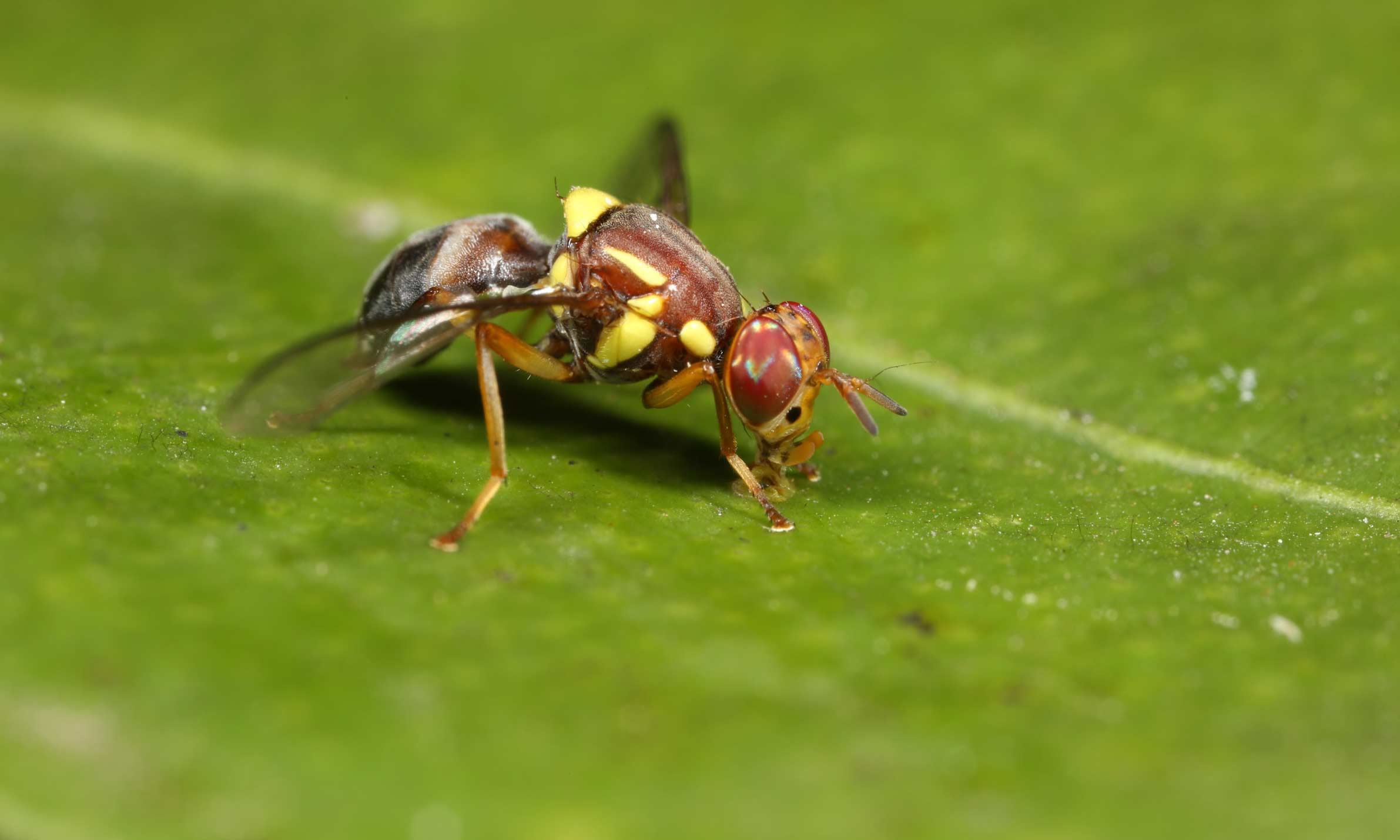 Close up of a fruit fly on a green leaf.