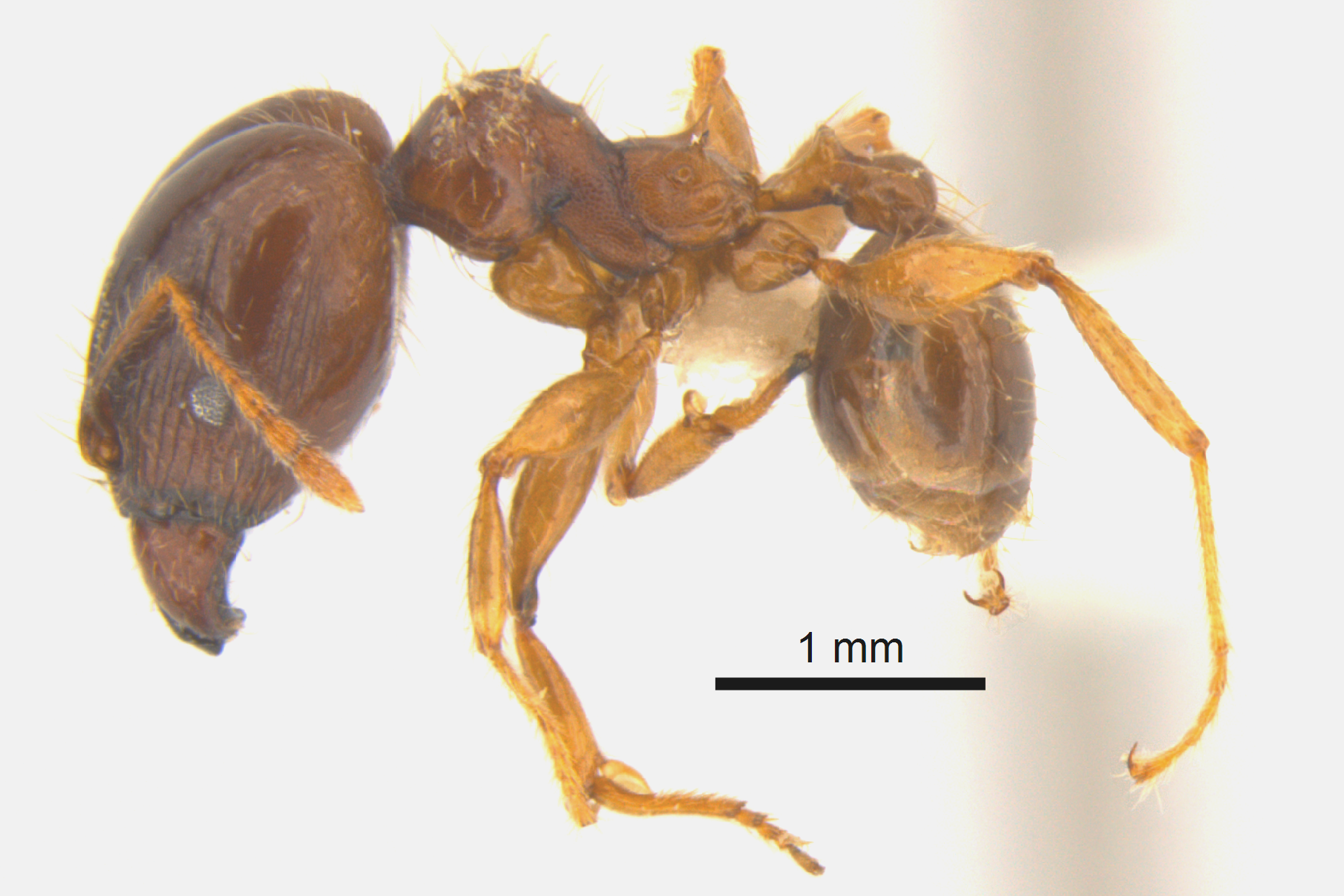 Pinned specimen of an African bigheaded ant.