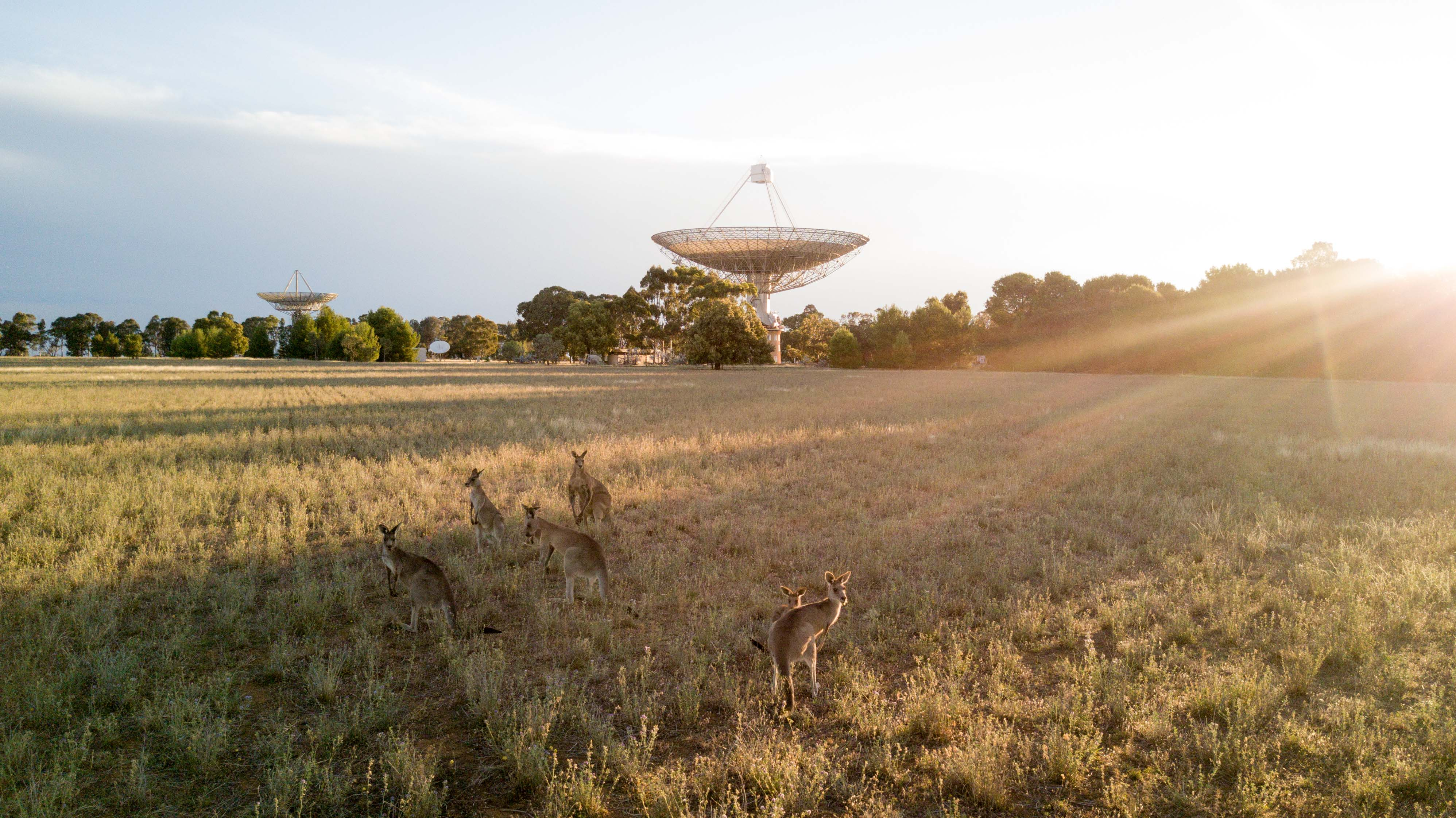 Kangaroos standing near the Parkes radio telescope at dawn.